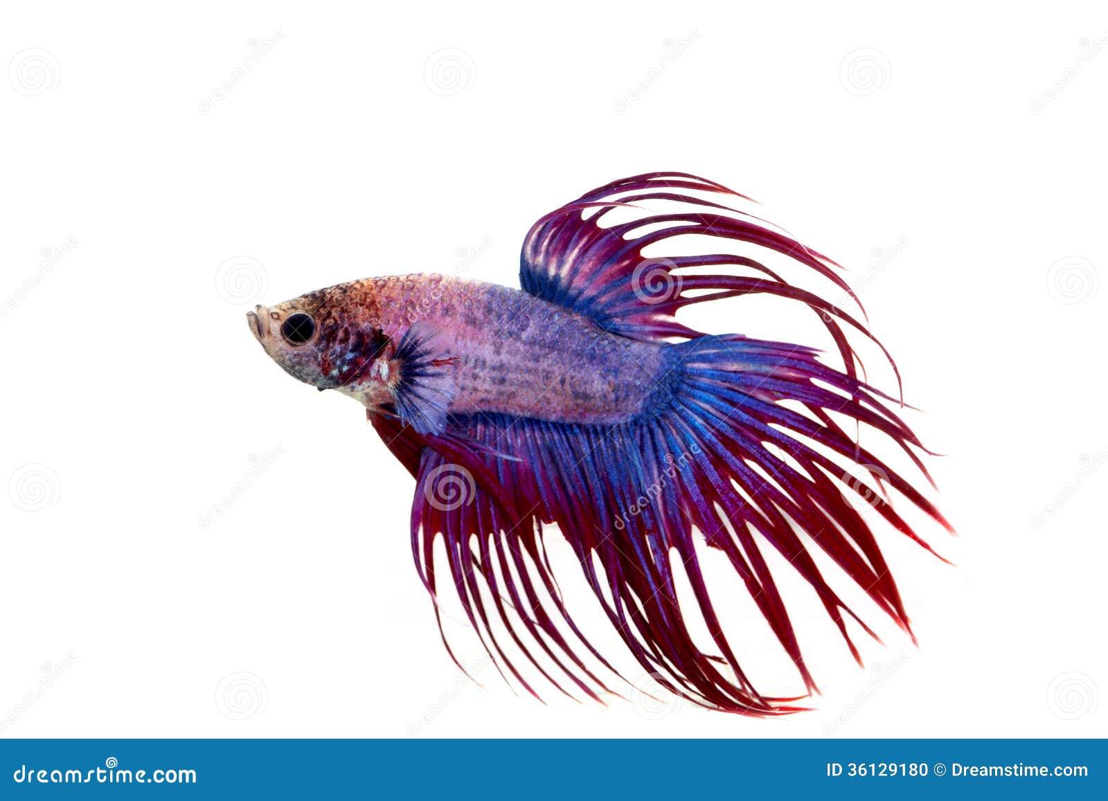 Pesce combattente vicino su su fondo bianco.