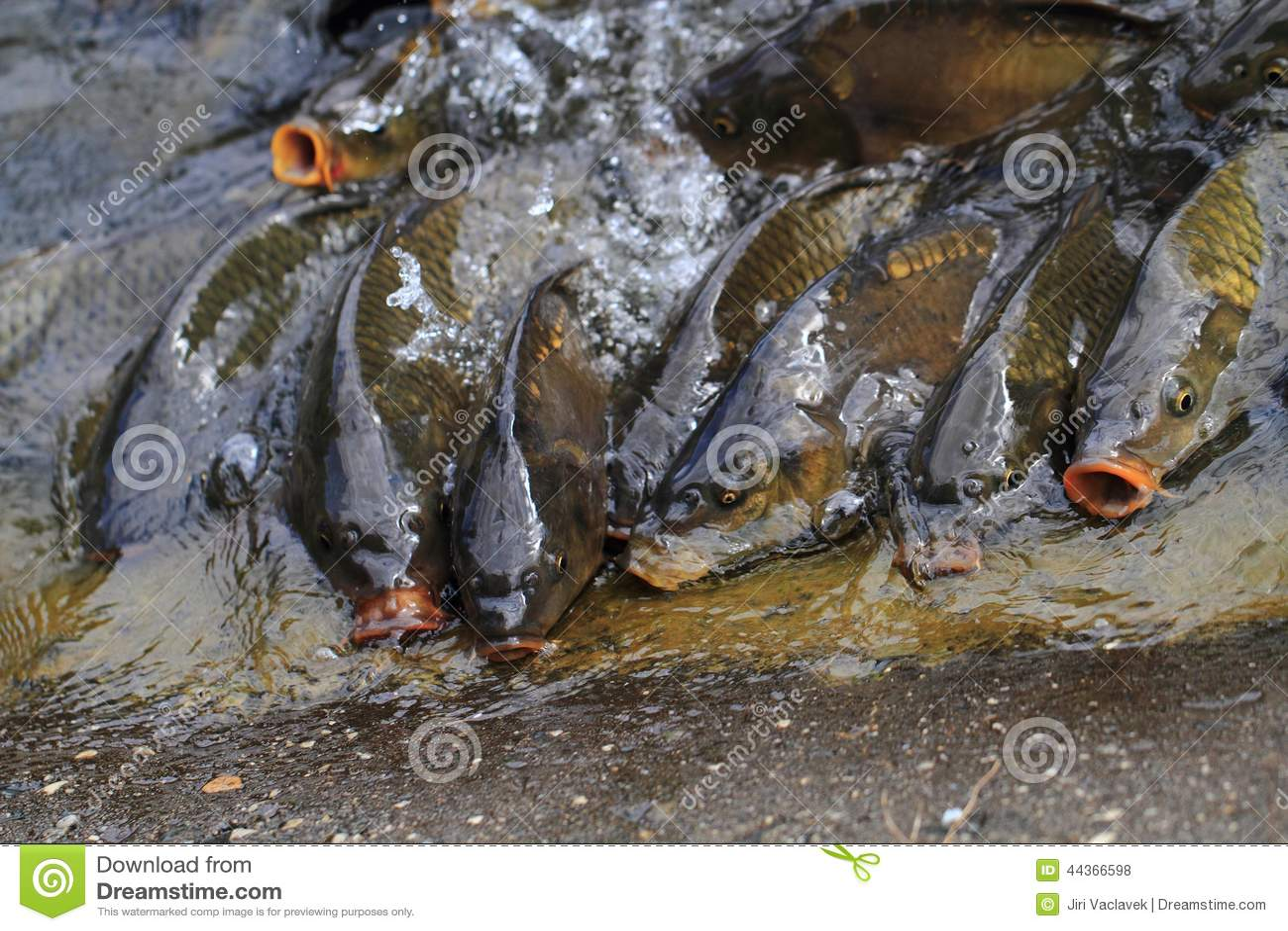 Pesci affamati della carpa
