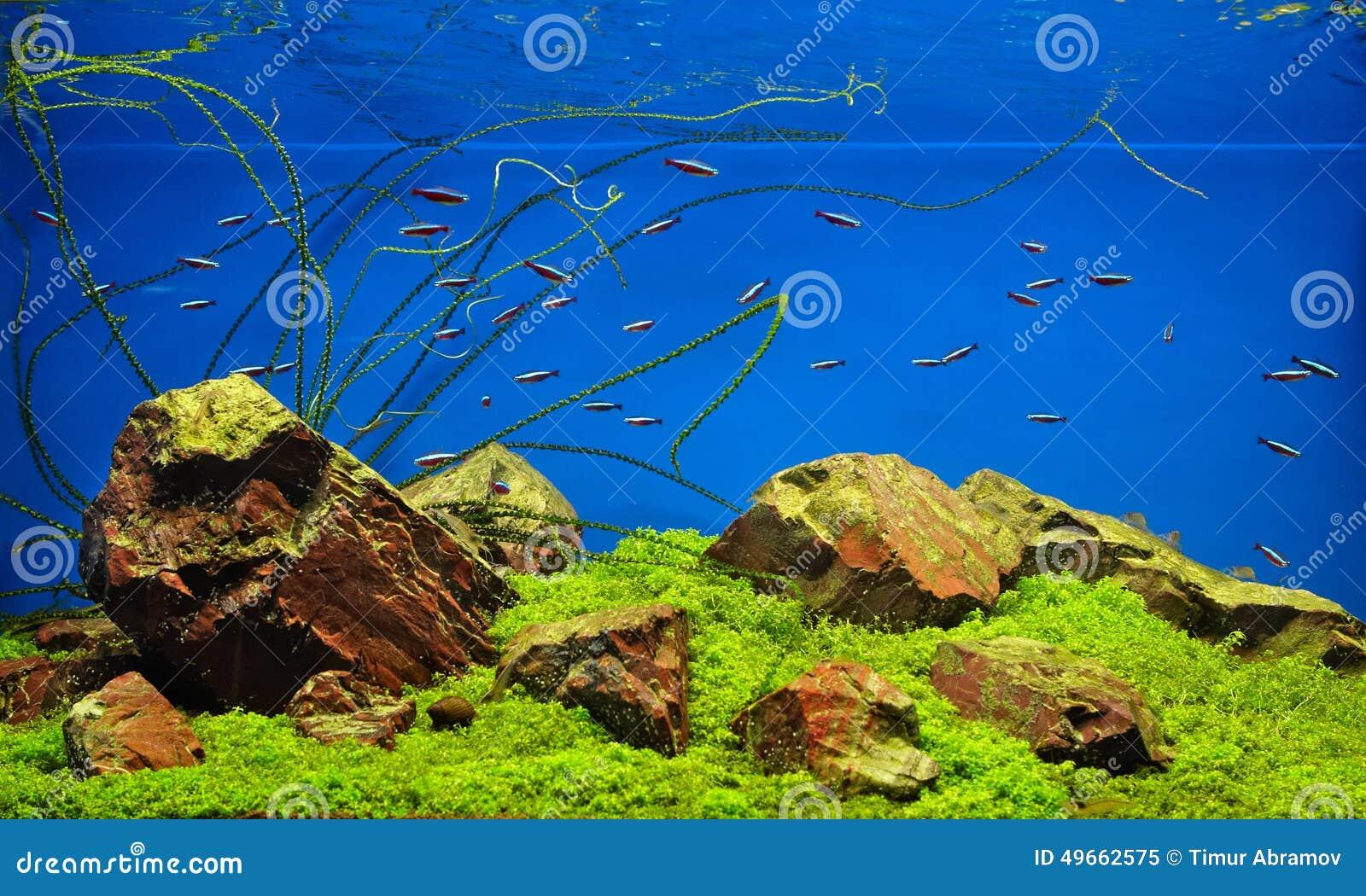 Pesci al neon in acquario d 39 acqua dolce immagine stock for Pesci acqua dolce commestibili