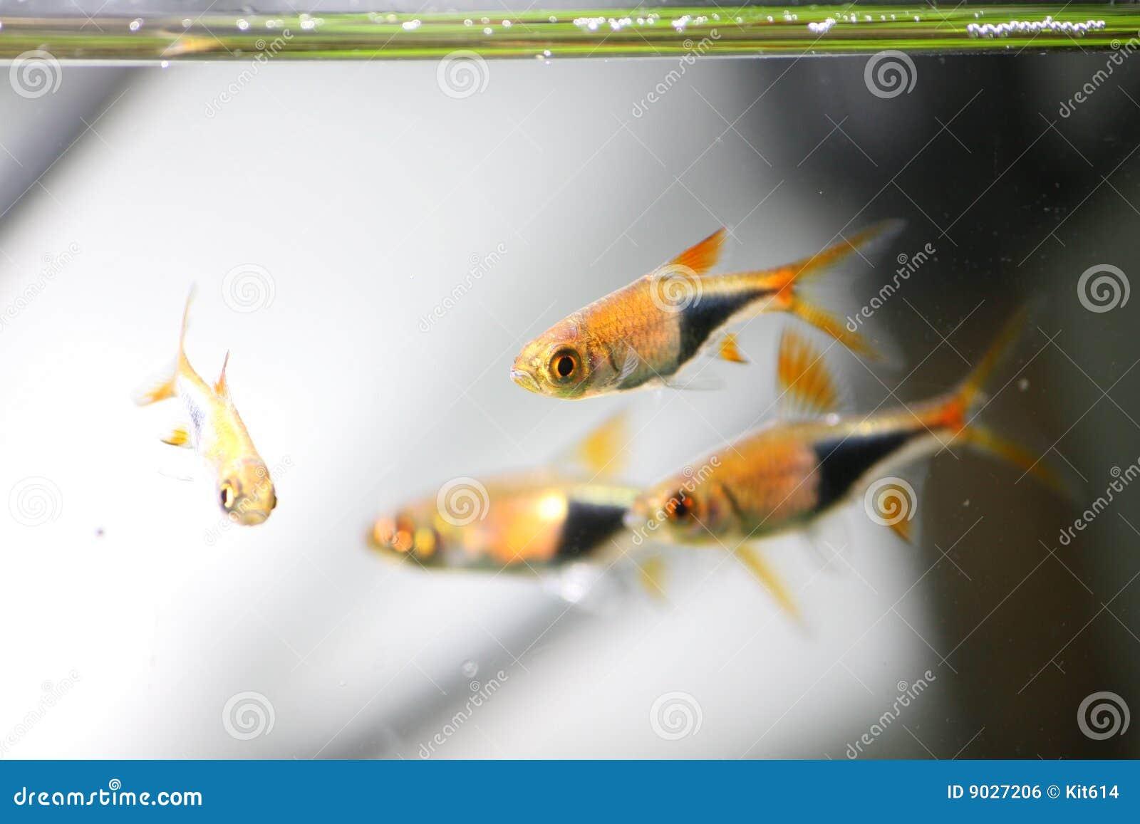 Pesci al neon pesci tropicali immagine stock libera da for Neon pesci prezzo