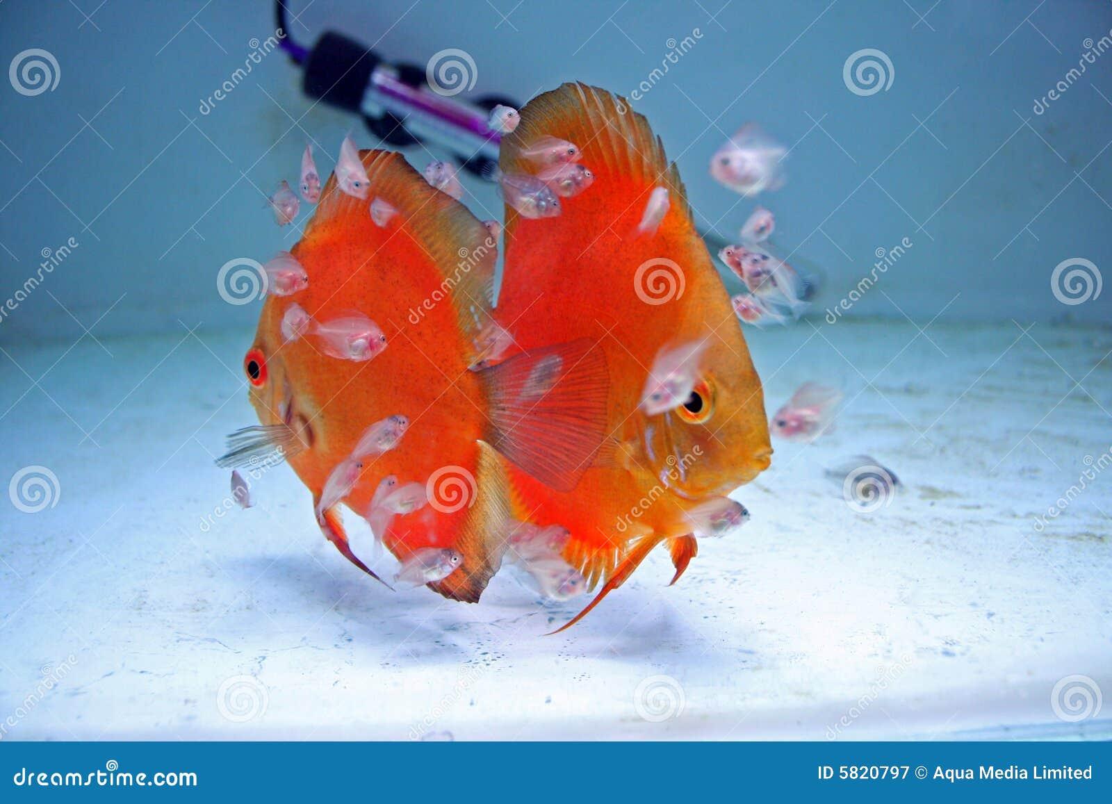 Pesci arancioni del discus con i bambini fotografia stock for Pesce discus