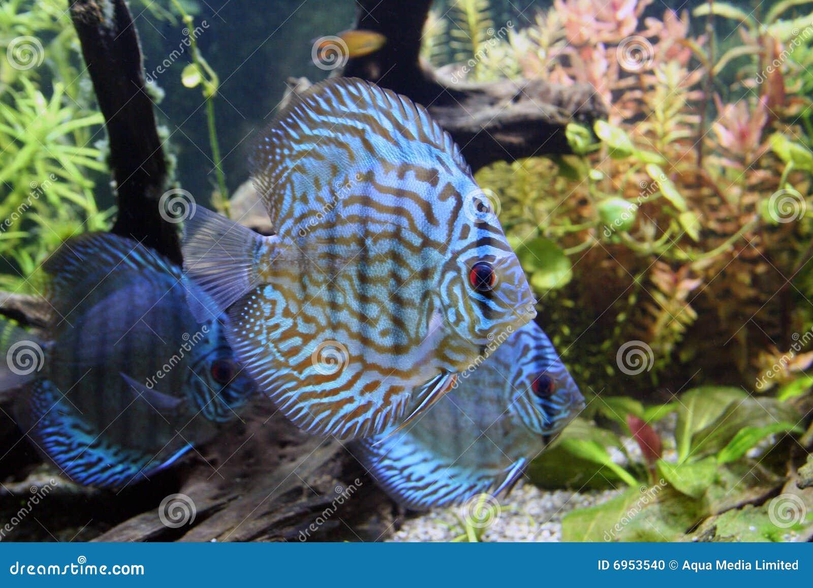 Pesci blu dell 39 acquario del discus fotografia stock for Pesce discus