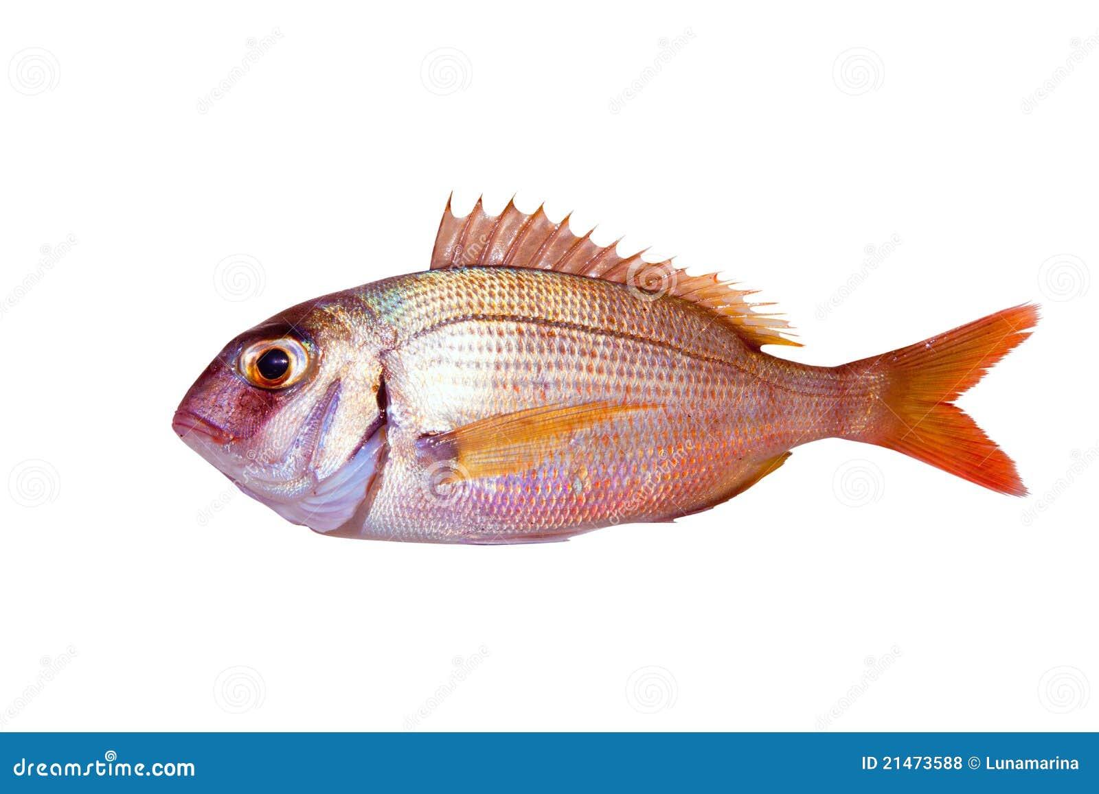 Pesci comuni del pagrus dell 39 abramide isolati fotografie stock libere da diritti immagine - Pesci comuni in tavola ...