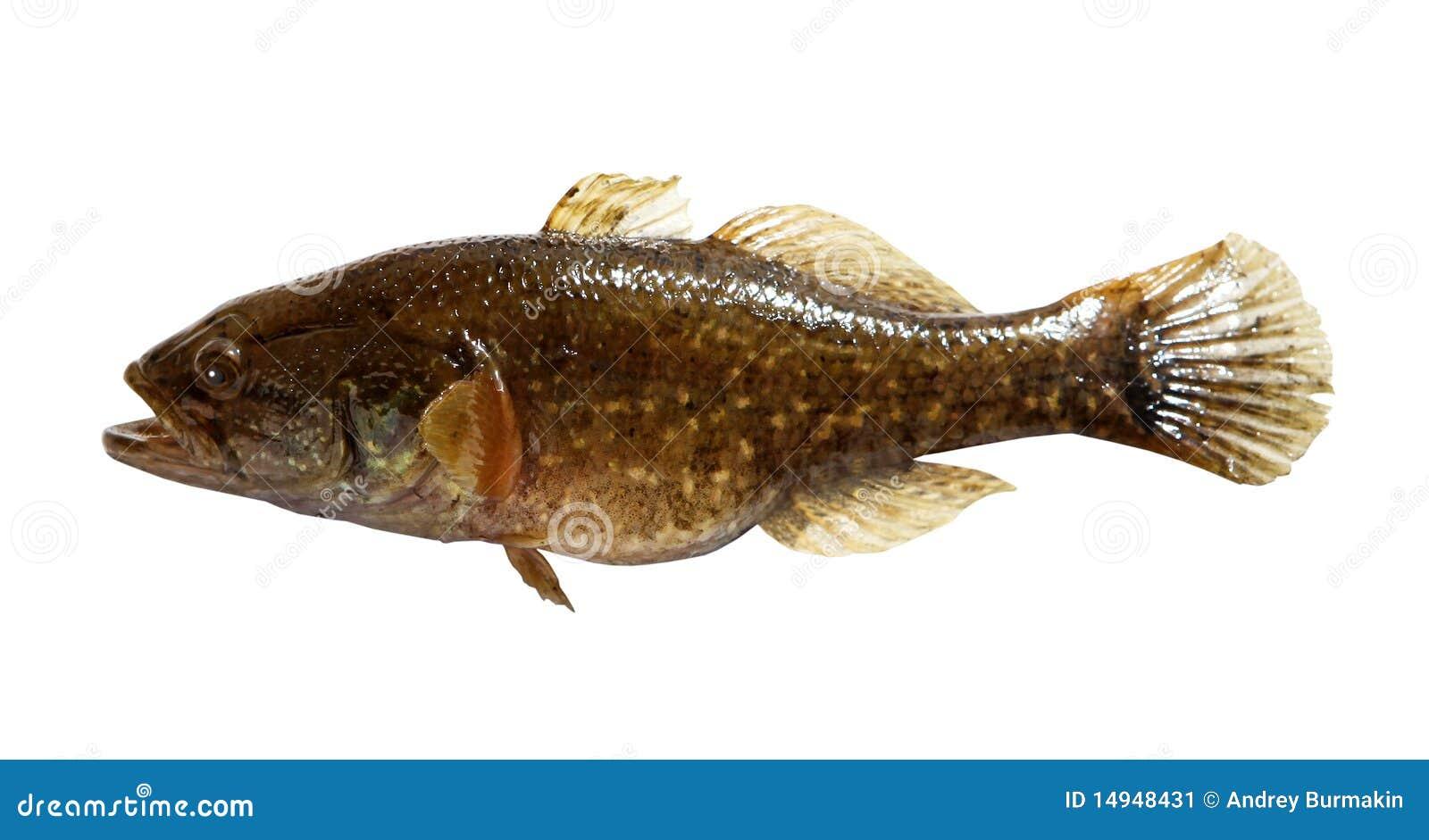 Pesci d 39 acqua dolce predatori immagine stock immagine for Pesci acqua dolce
