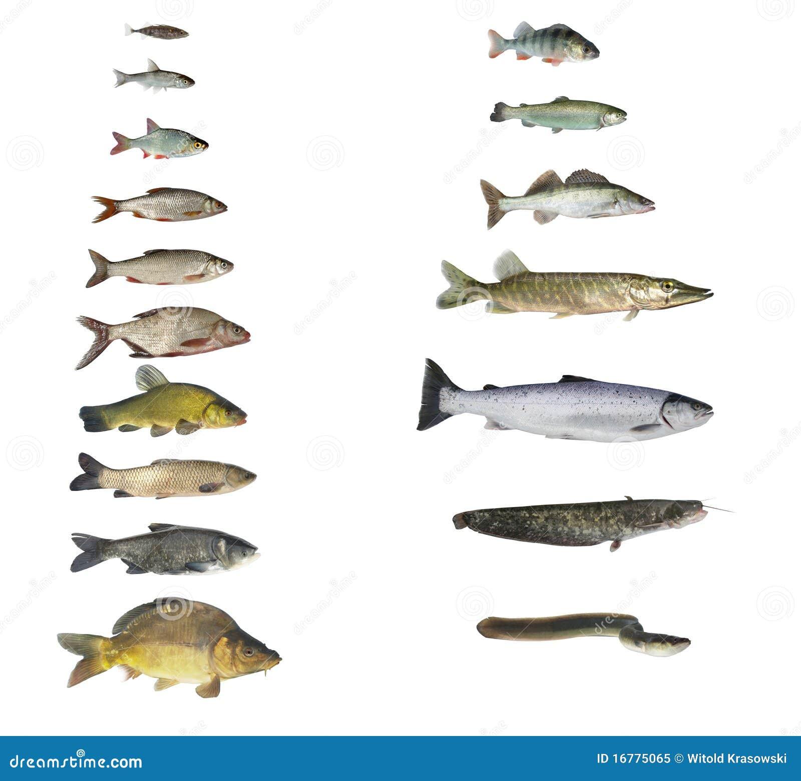 Pesci dei fiumi e dei laghi immagine stock immagine for Pesci di fiume