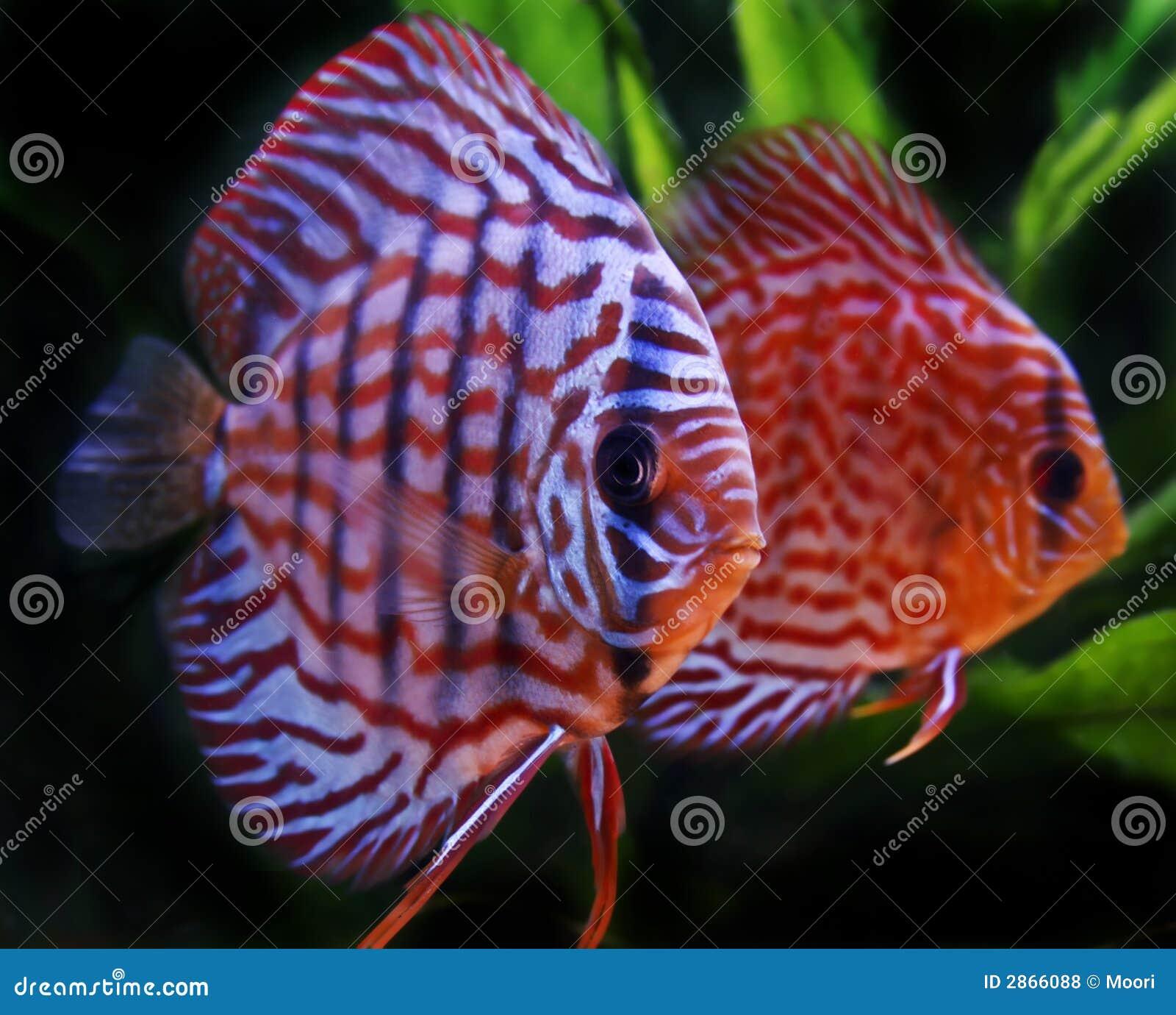 Pesci del discus fotografie stock libere da diritti for Pesce discus