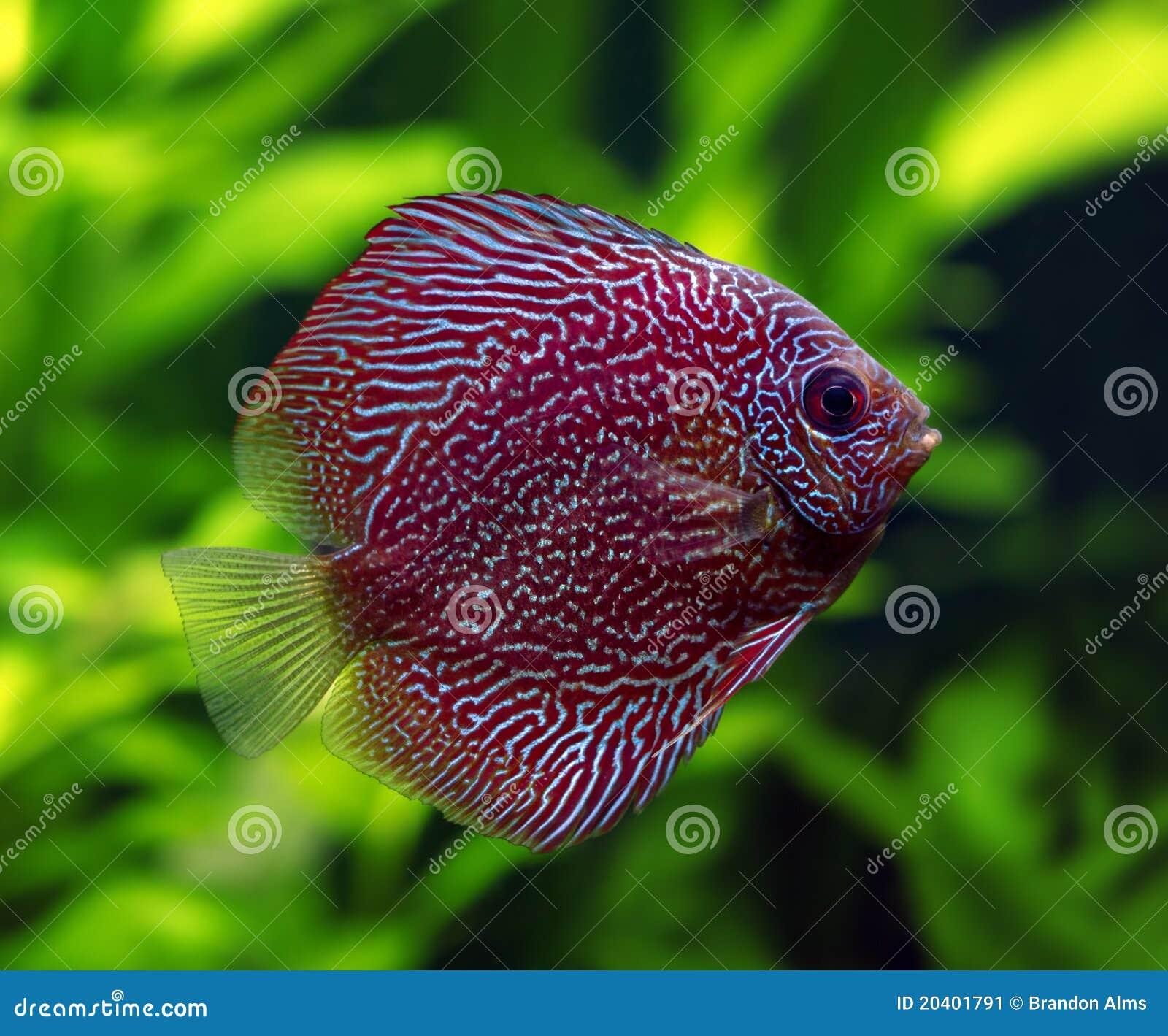 Pesci del discus di snakeskin immagine stock immagine for Pesce discus