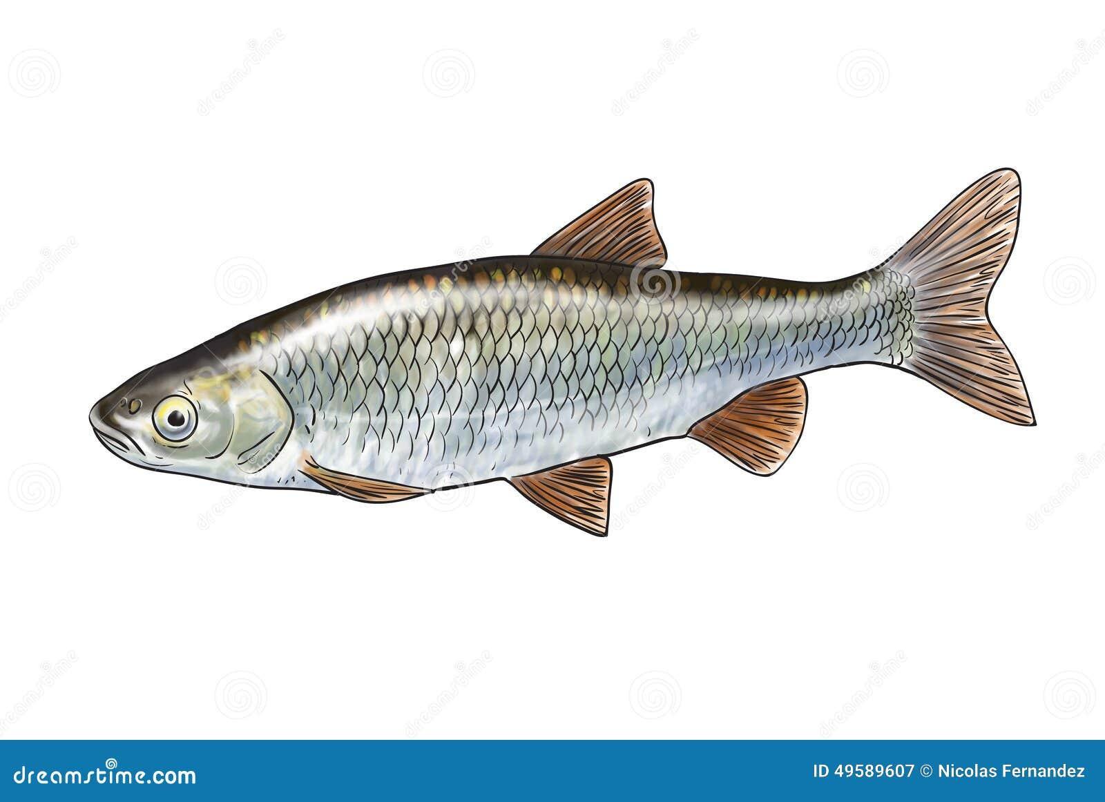 Pesci del fiume illustrazione di stock immagine 49589607 for Pesci di fiume
