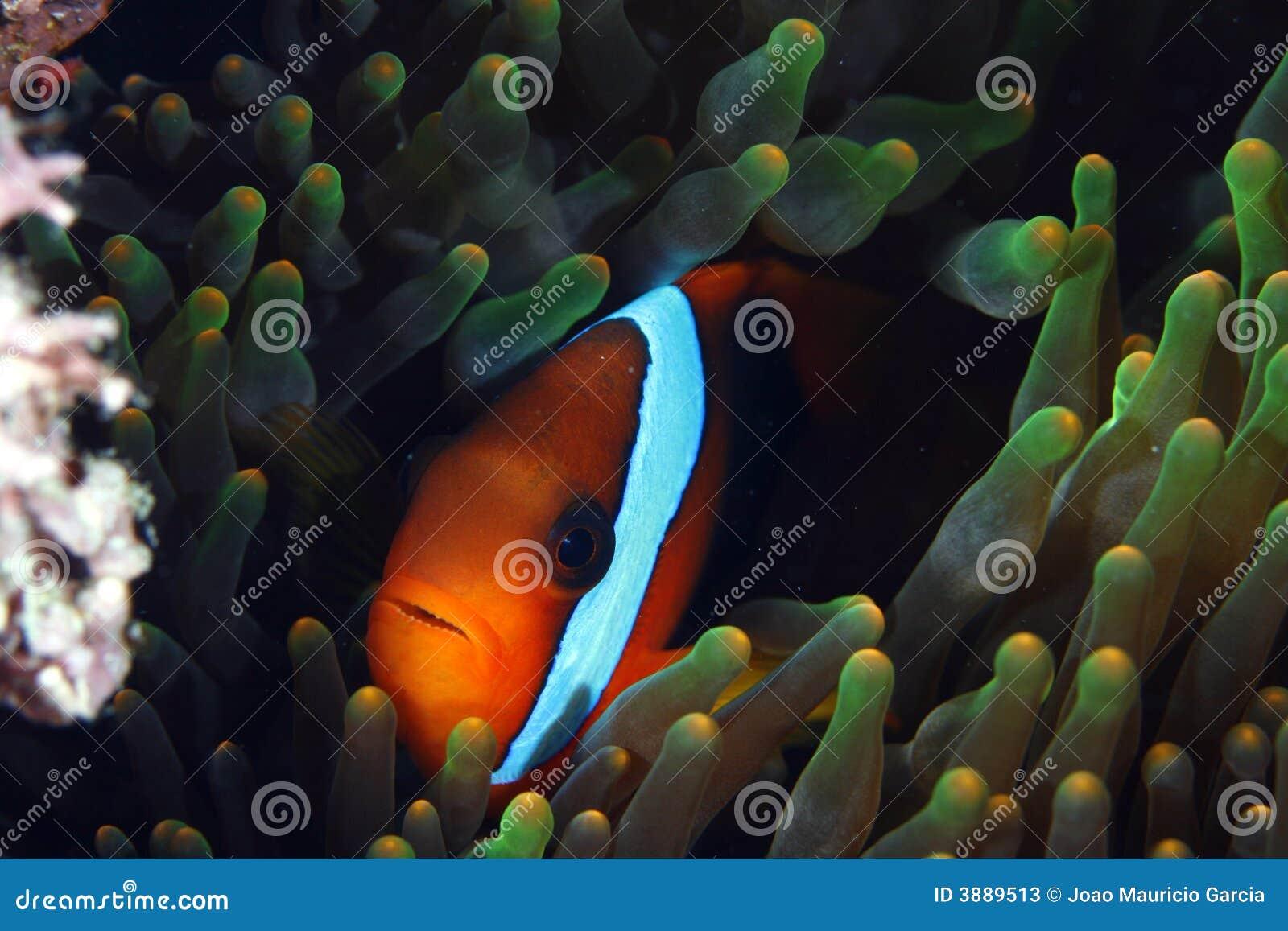 Pesci del pagliaccio