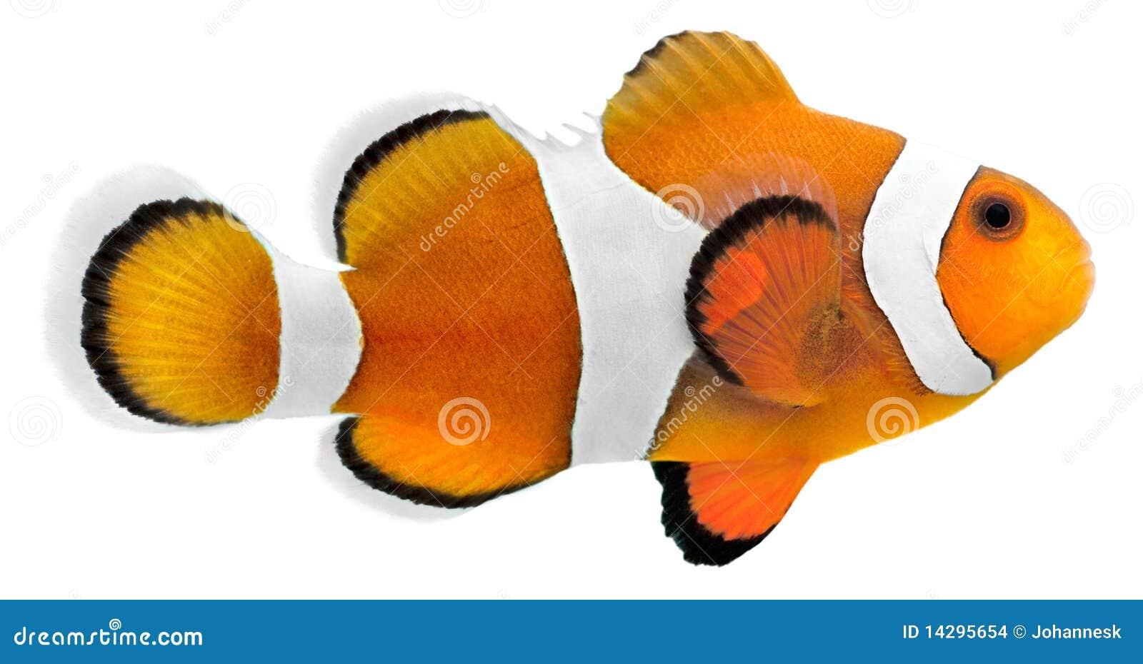 Pesci del pagliaccio (ocellaris del Amphiprion)