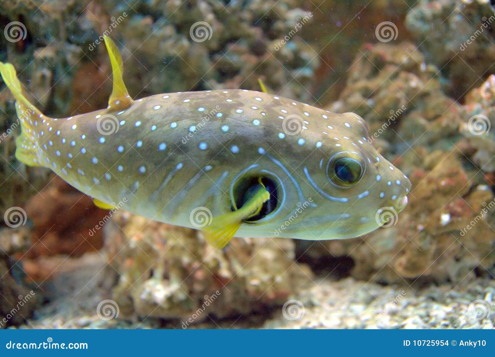 Pesci del pesce palla fotografia stock immagine di pesci for Pesce palla immagini