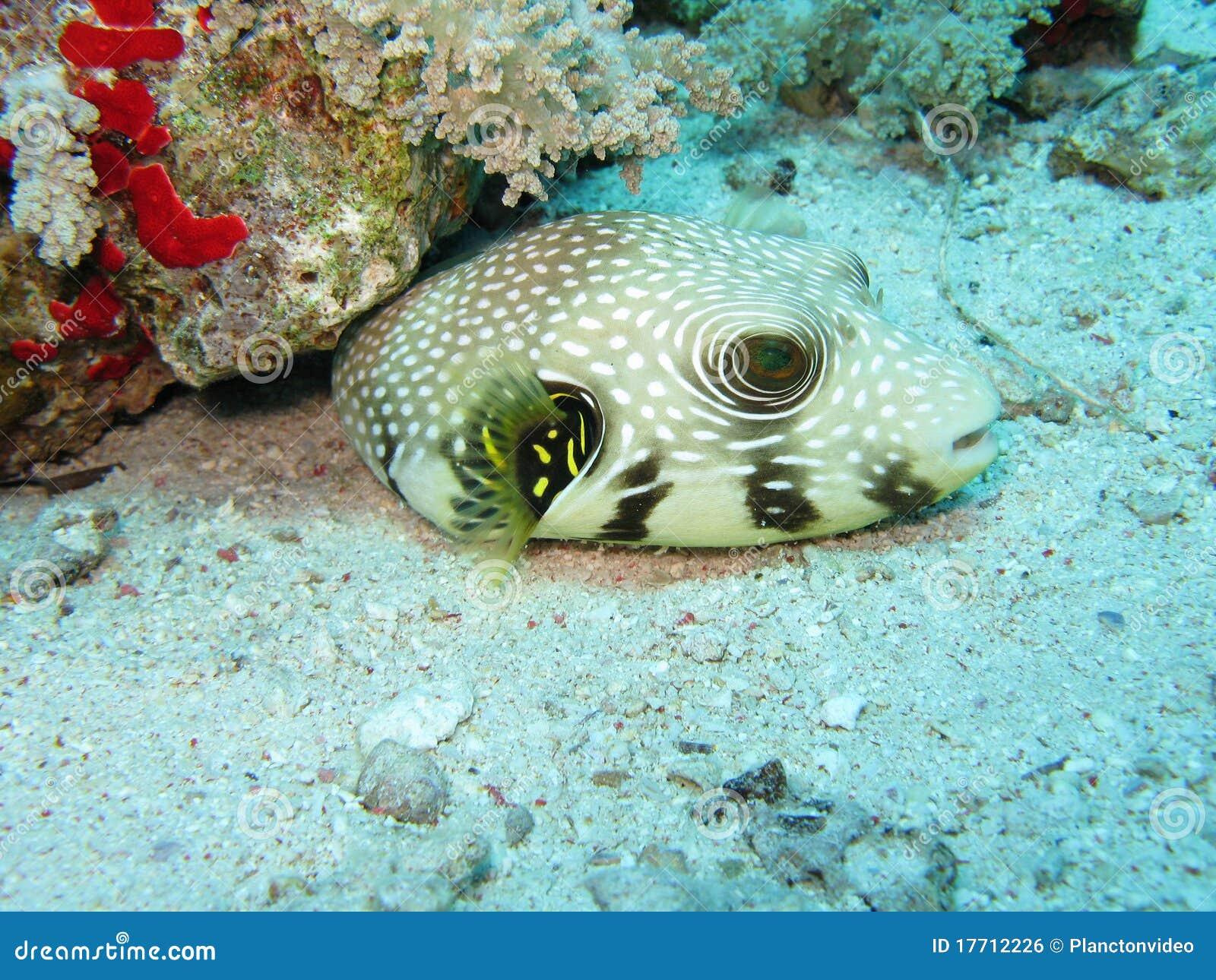 Pesci del pesce palla della stella immagine stock libera for Pesce palla immagini