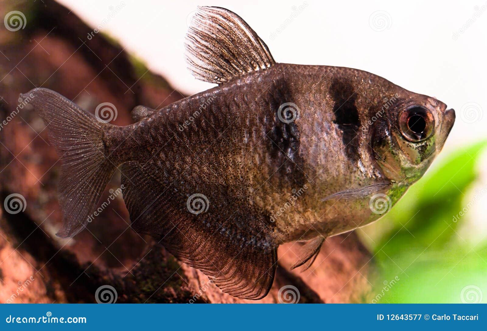 Pesci dell 39 acquario dell 39 acqua dolce ternetzi di for Pesci per laghetto prezzi