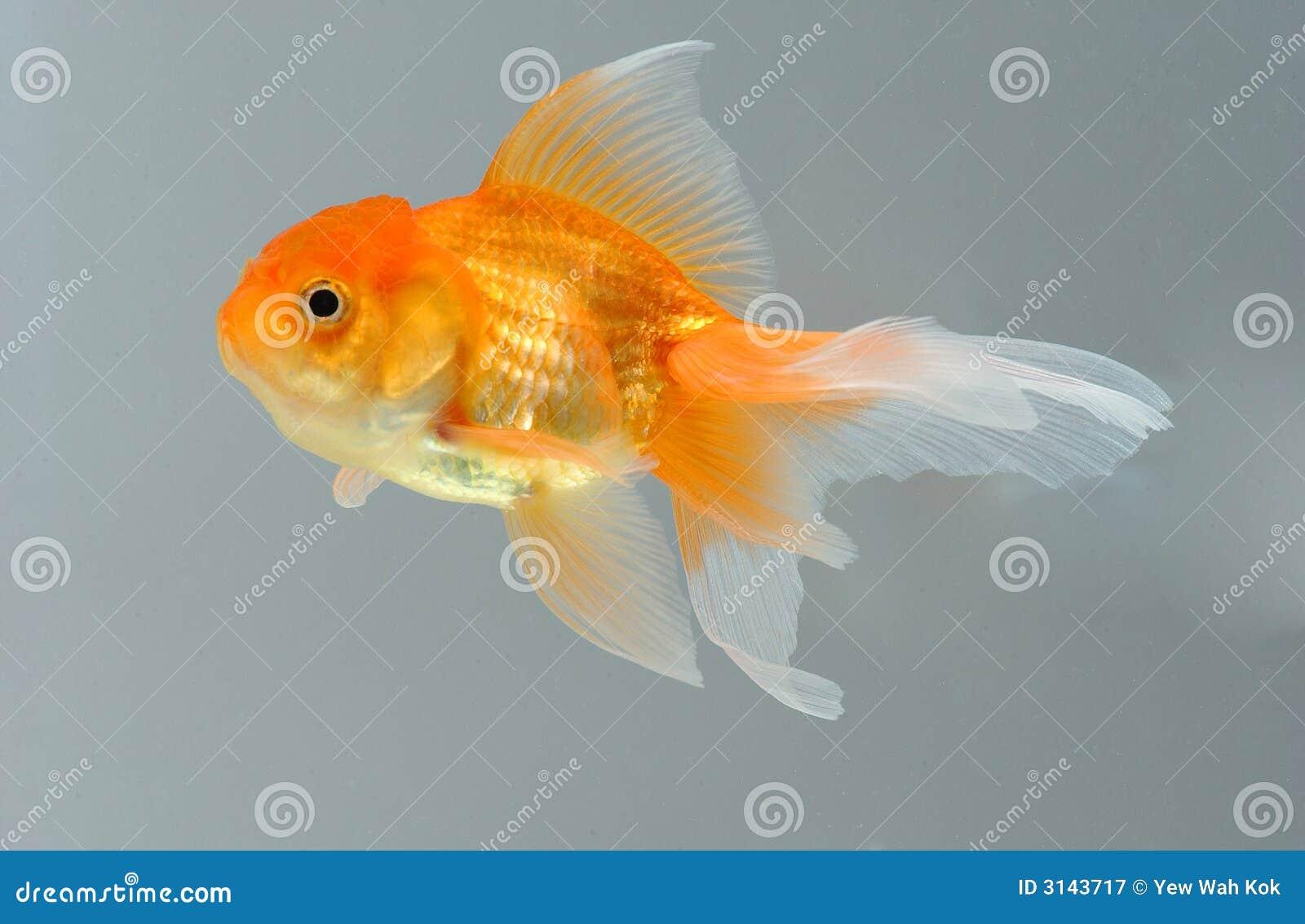 Pesci dell oro