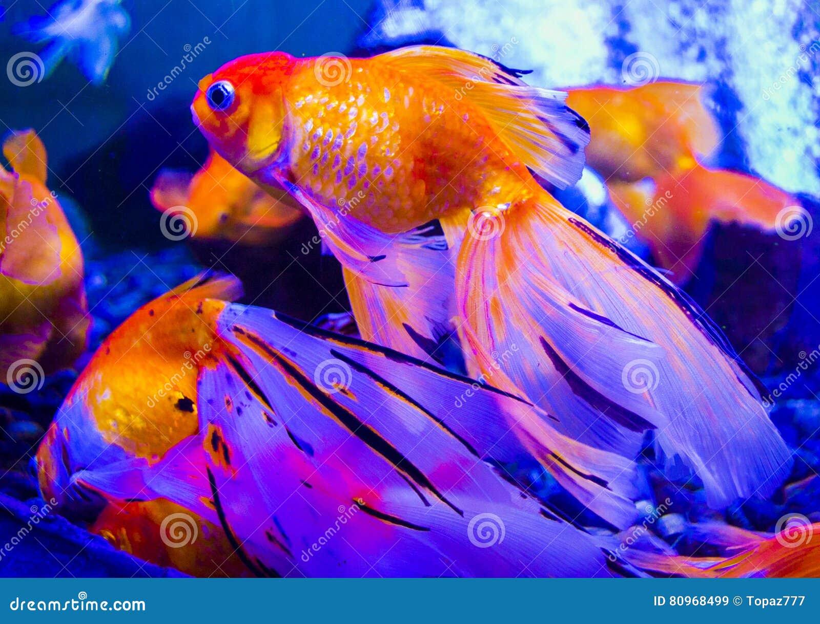 Pesci dell 39 oro carpa del pesce rosso dell 39 acquario for Carpa pesce rosso