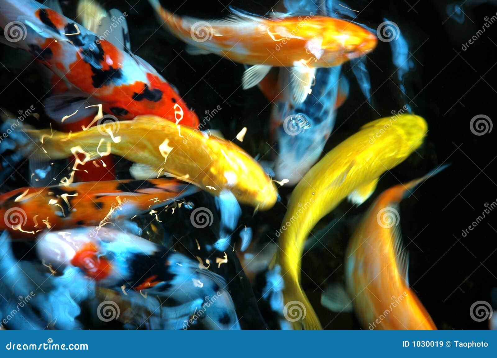 Pesci dello stagno immagini stock libere da diritti for Pesci da stagno