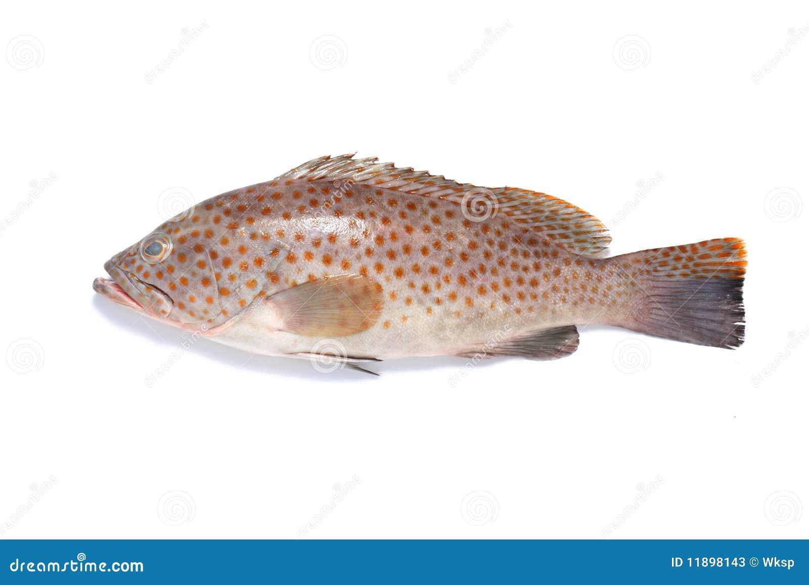 Pesci di Garoupa