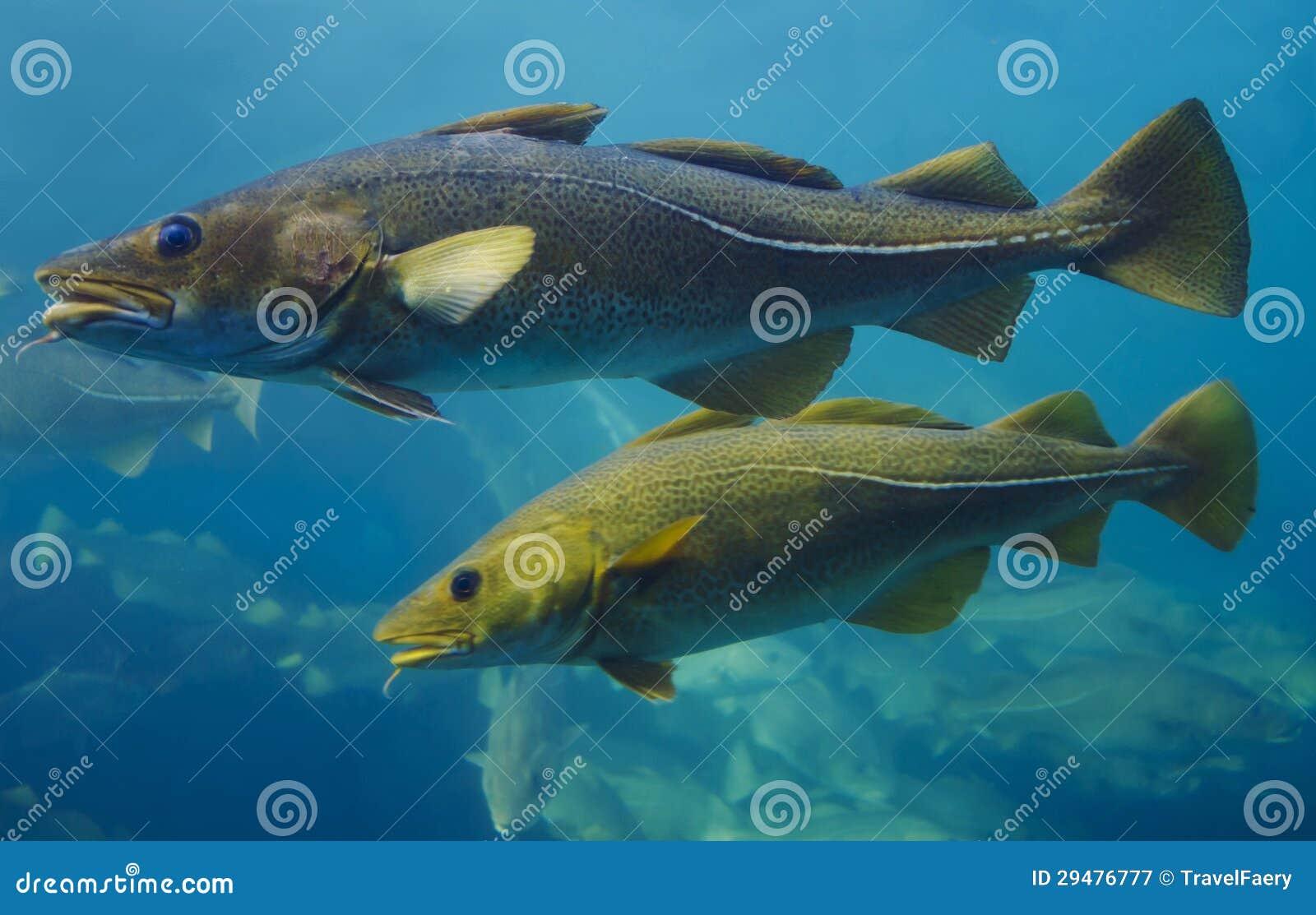 Pesci di merluzzo