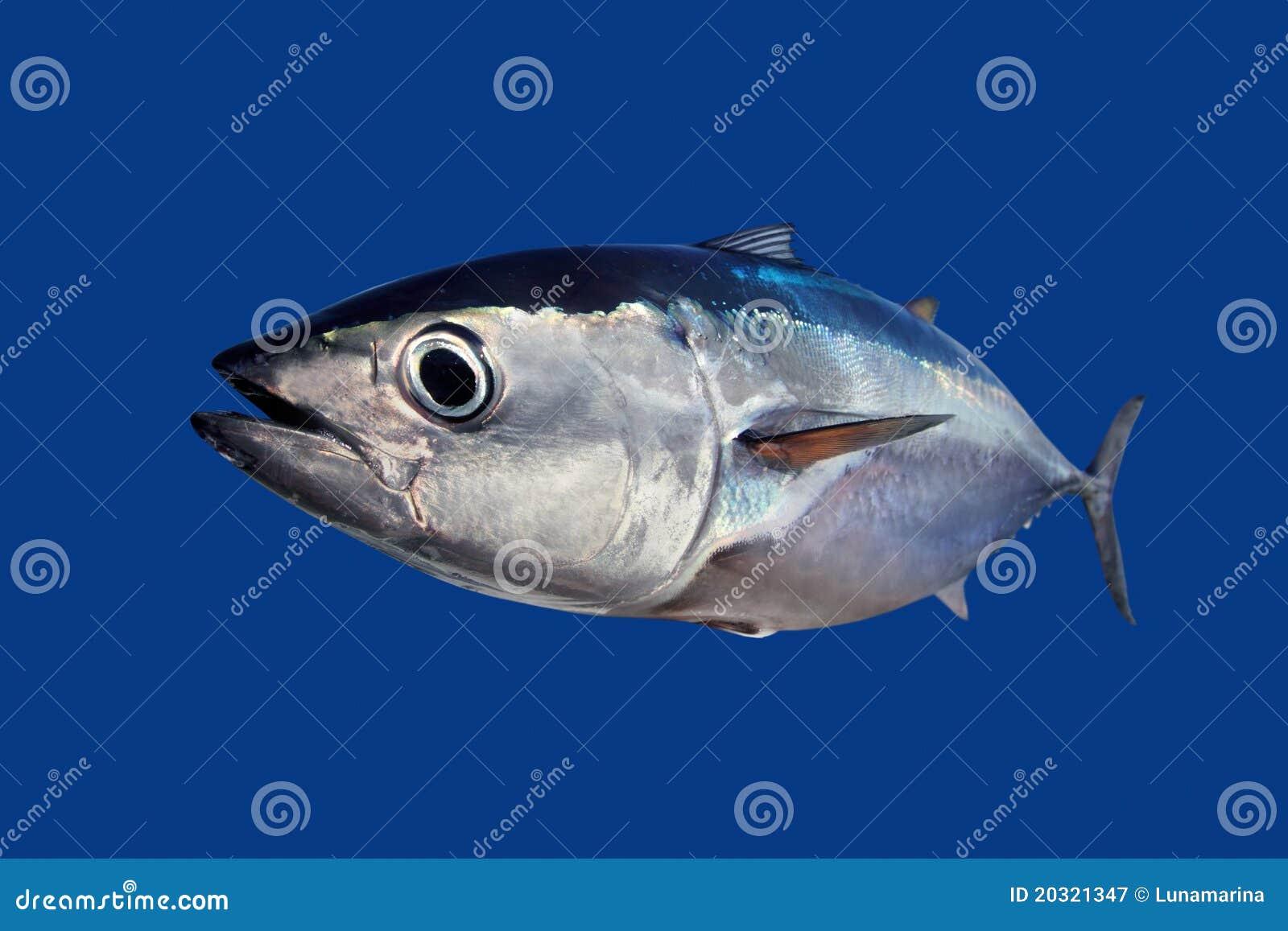 Pesci di thynnus del Thunnus dello sgombro di tonno rosso isolati sull azzurro