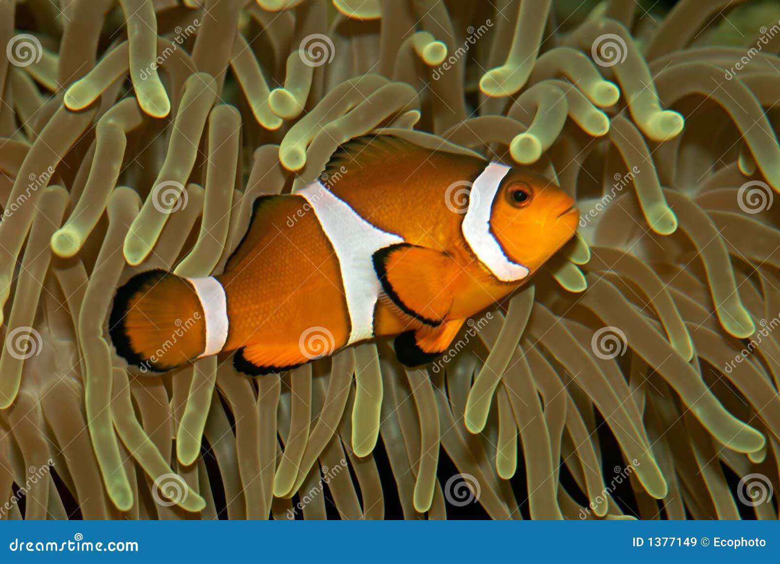 Pesci ed anemone del pagliaccio