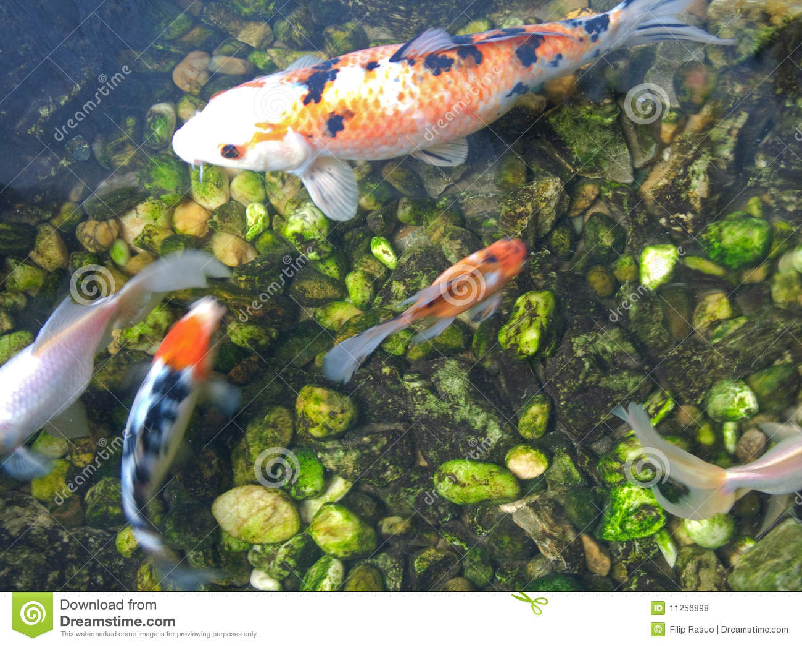 pesci giapponesi della carpa di koi fotografia stock