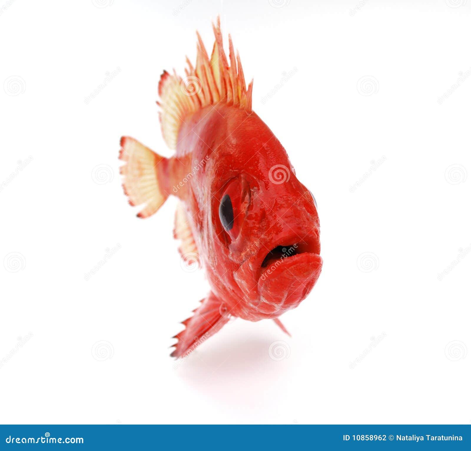 Pesci rossi fotografia stock immagine di pesca seafood for Vaschetta per pesci rossi prezzi