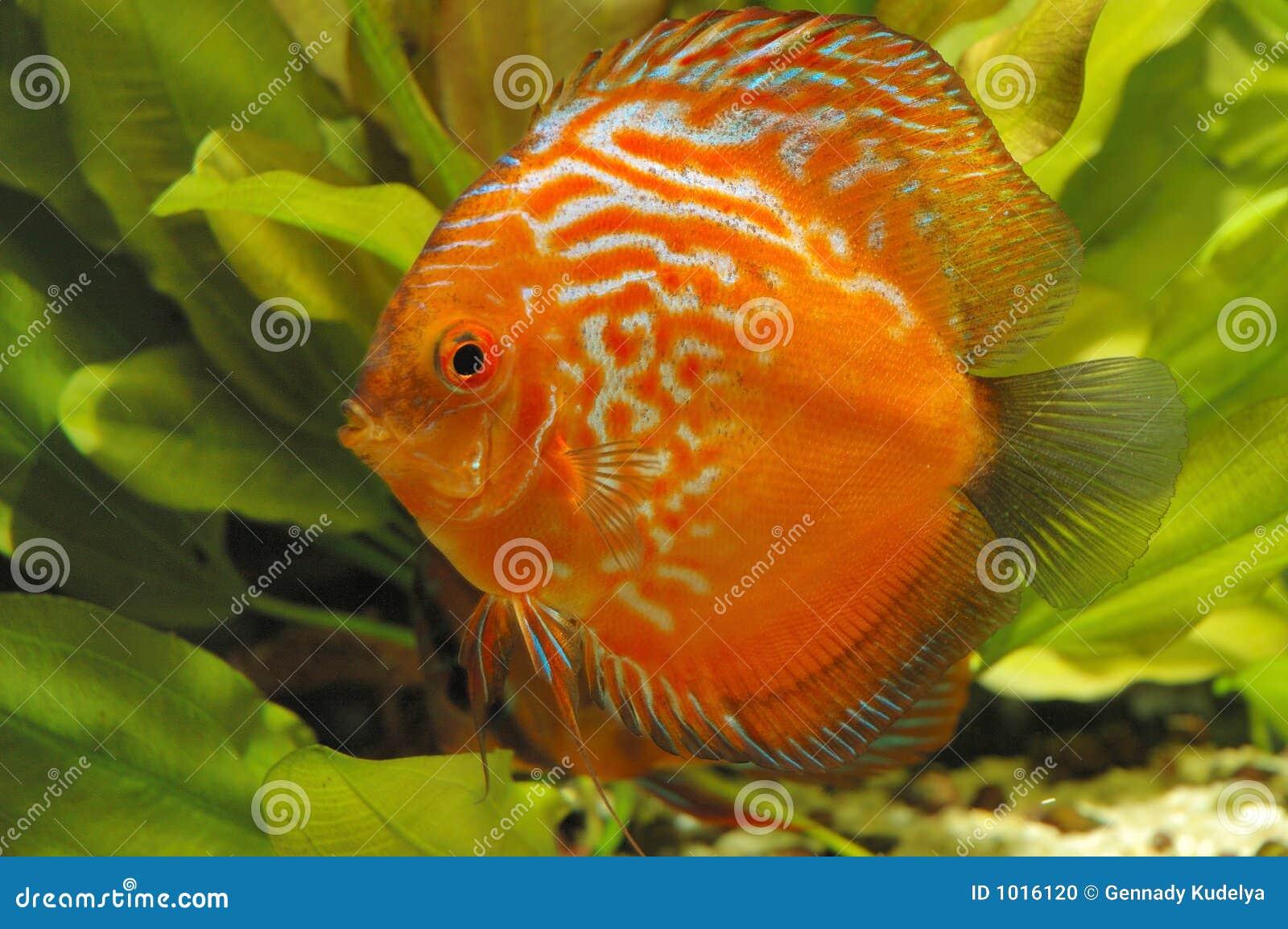 Pesci rossi del discus fotografia stock immagine 1016120 for Pesce discus