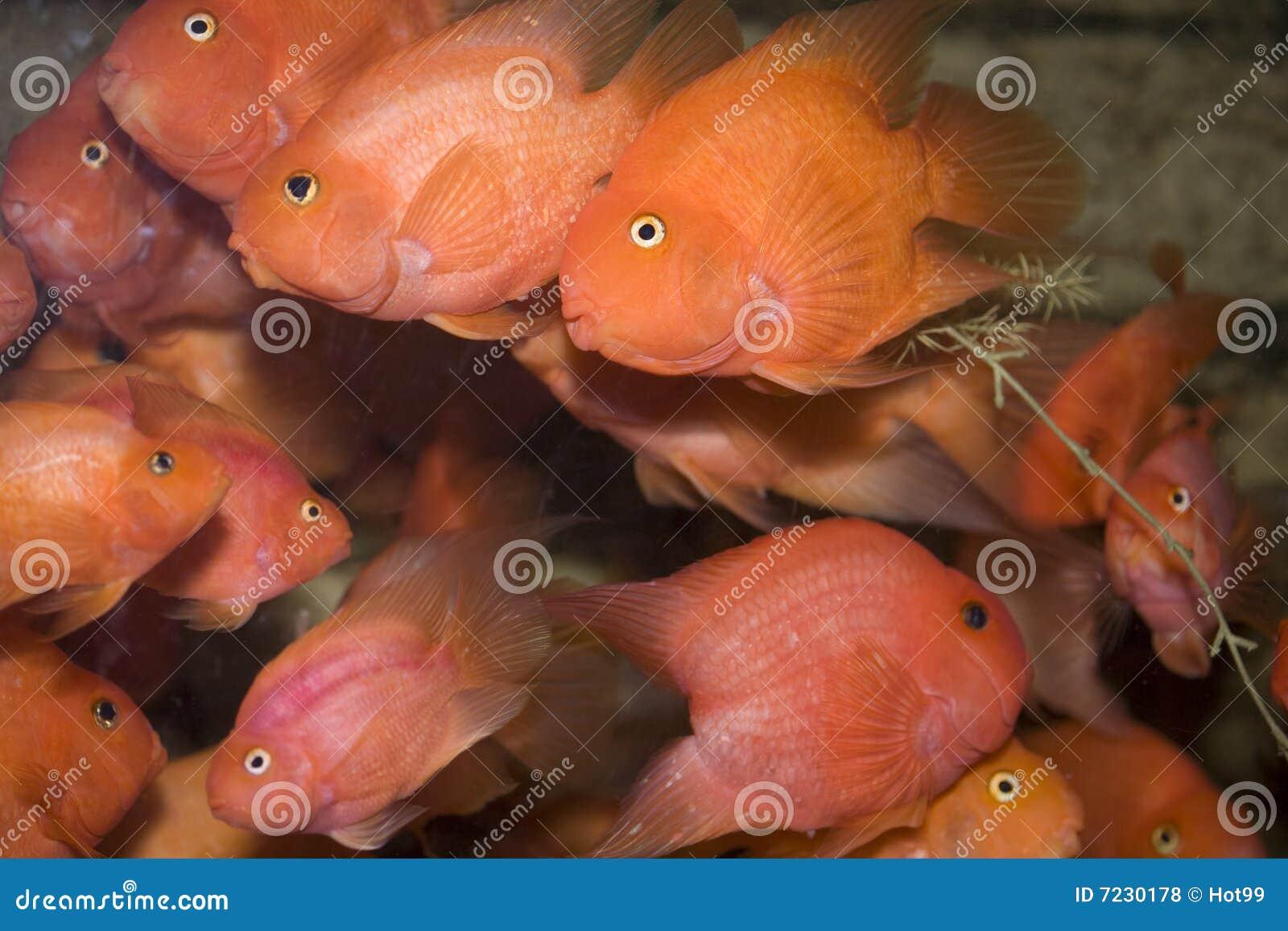 Pesci rossi del pappagallo fotografia stock immagine di for Vaschetta per pesci rossi prezzi
