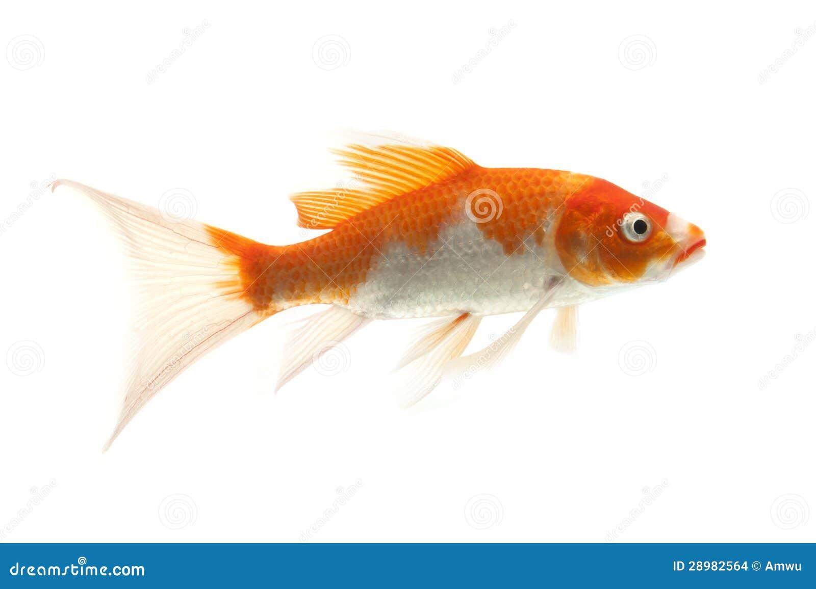 pesci rossi e bianchi di koi immagini stock immagine