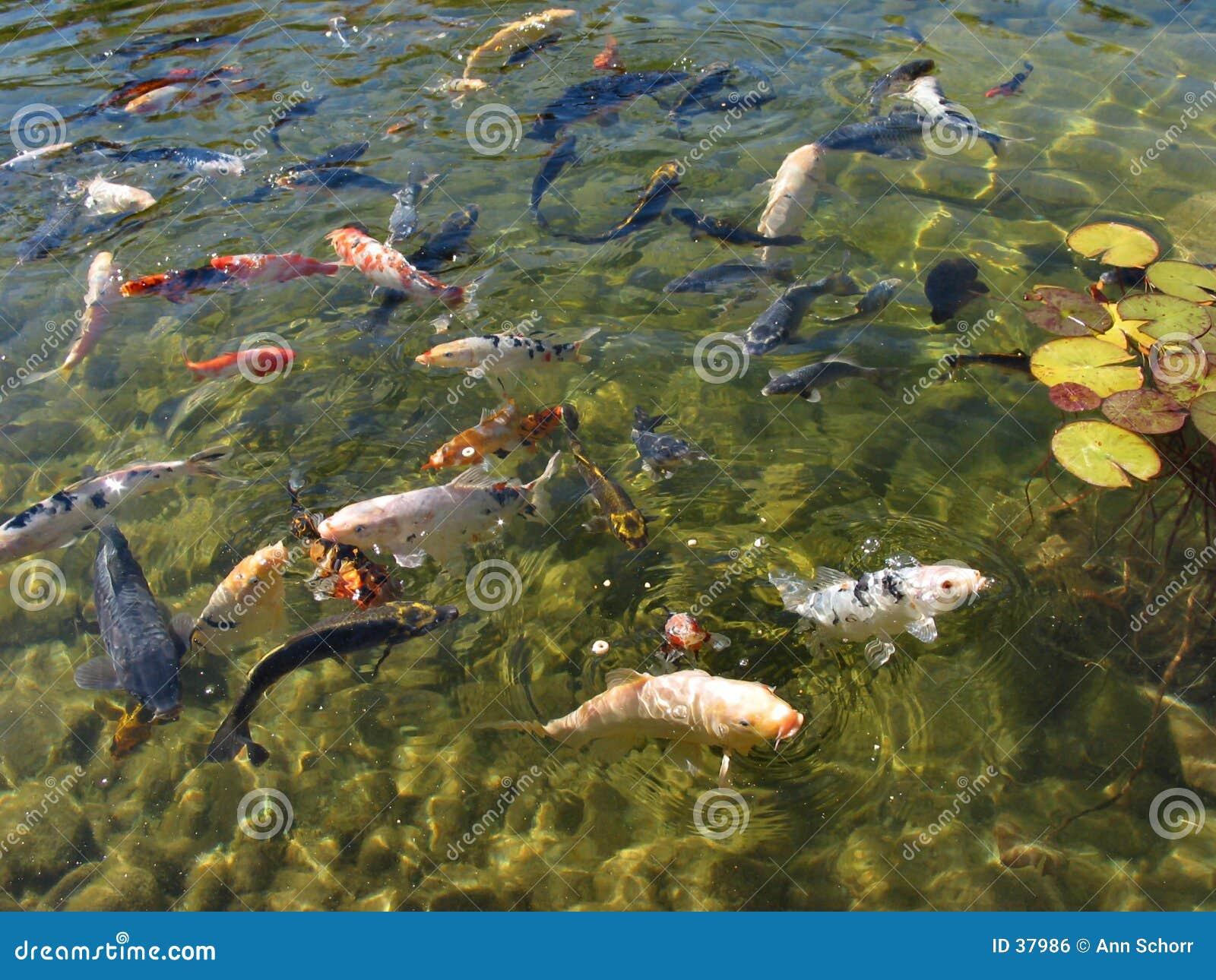 Pesci timidi che cercano alimento