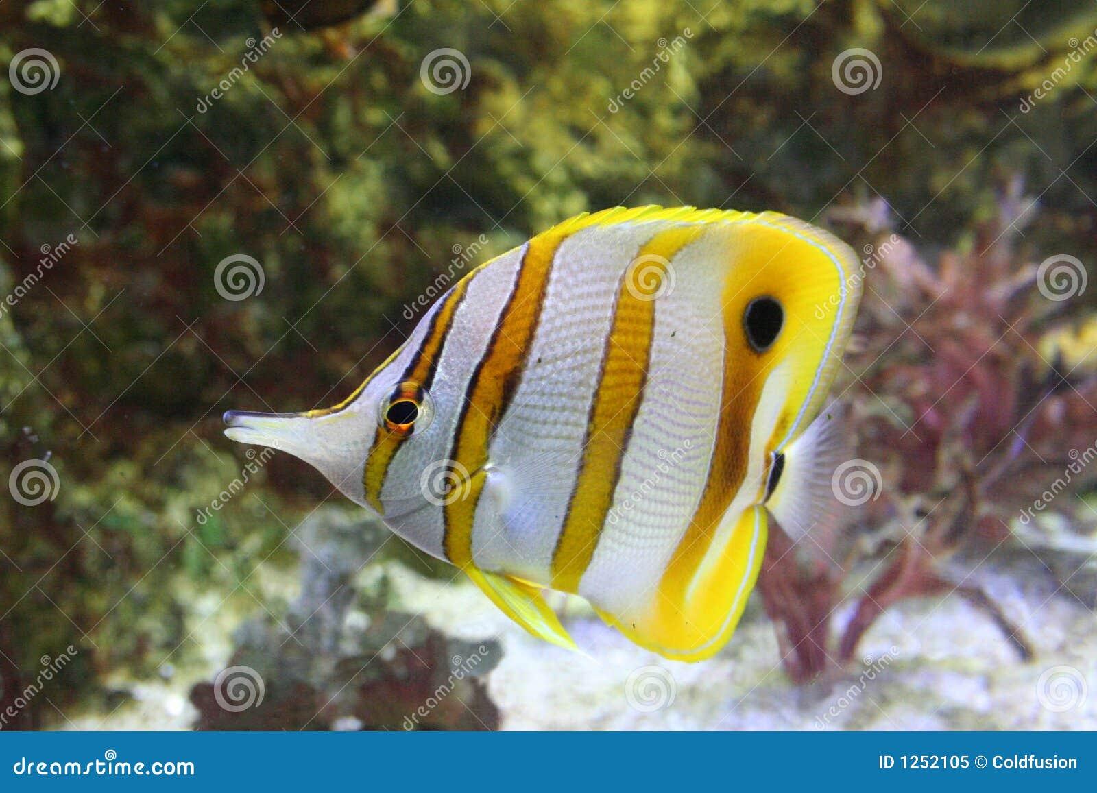 Pesci tropicali fotografia stock libera da diritti for Acquario pesci tropicali