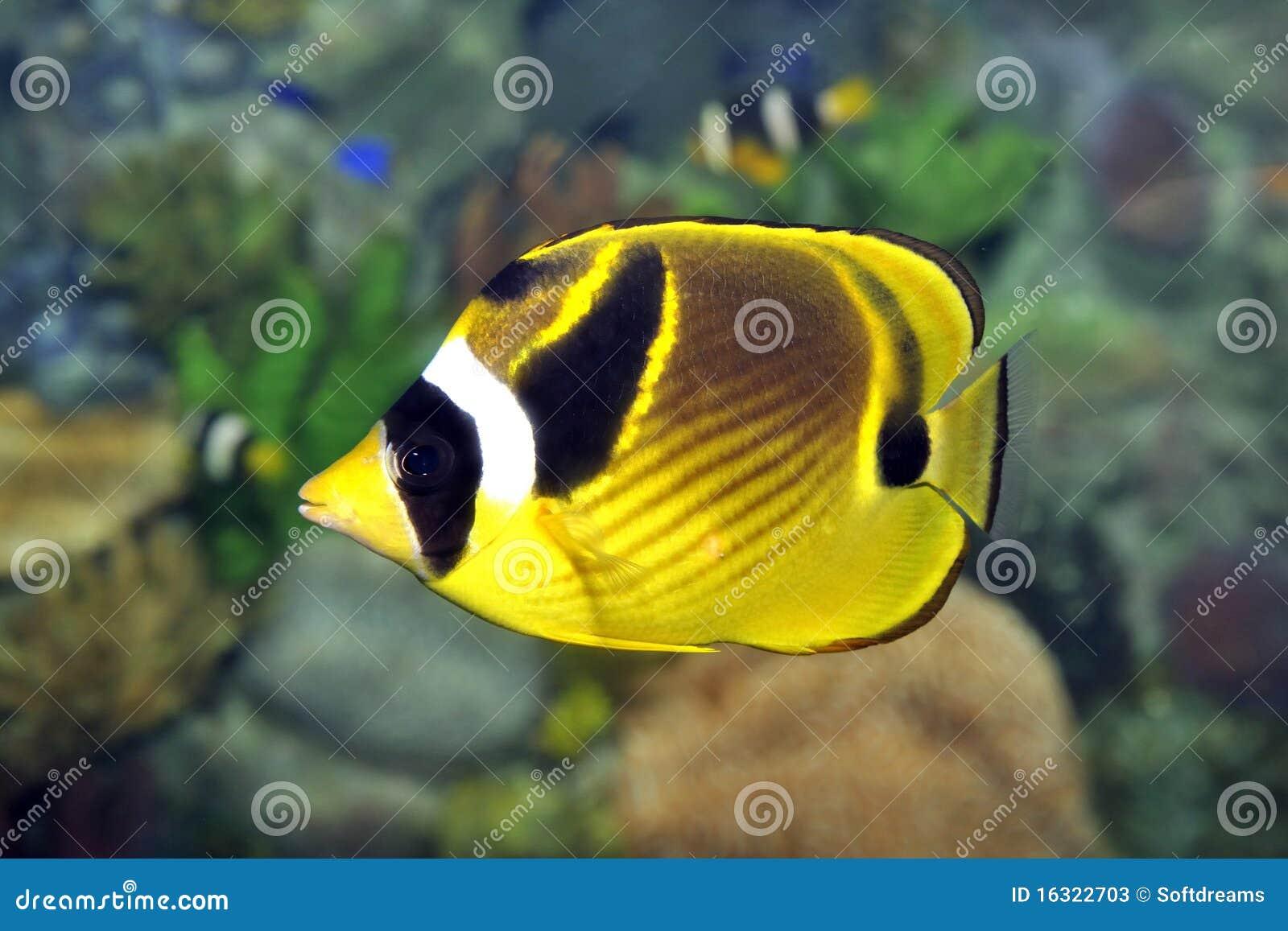 Pesci tropicali fotografie stock immagine 16322703 for Acquario pesci tropicali
