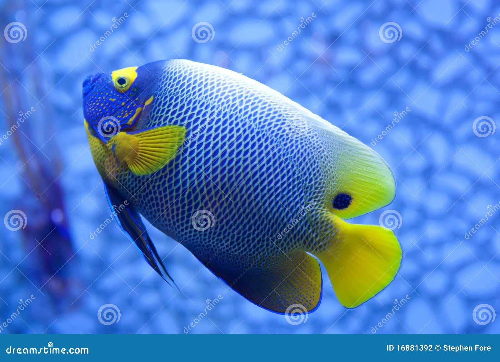 Pesci Tropicali Blu E Gialli Luminosi Su Una Priorità Bassa Blu. #0C4DBF 1300 957 Foto Di Mobili Per Cucina