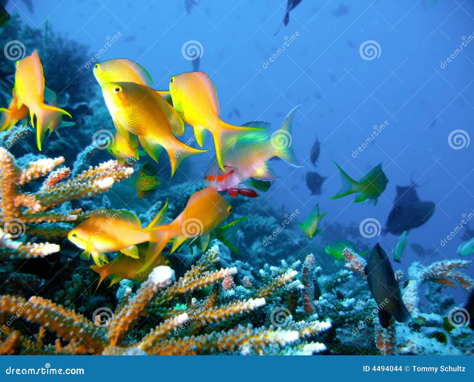 Pesci tropicali della barriera corallina fotografia stock for Pesci da esterno