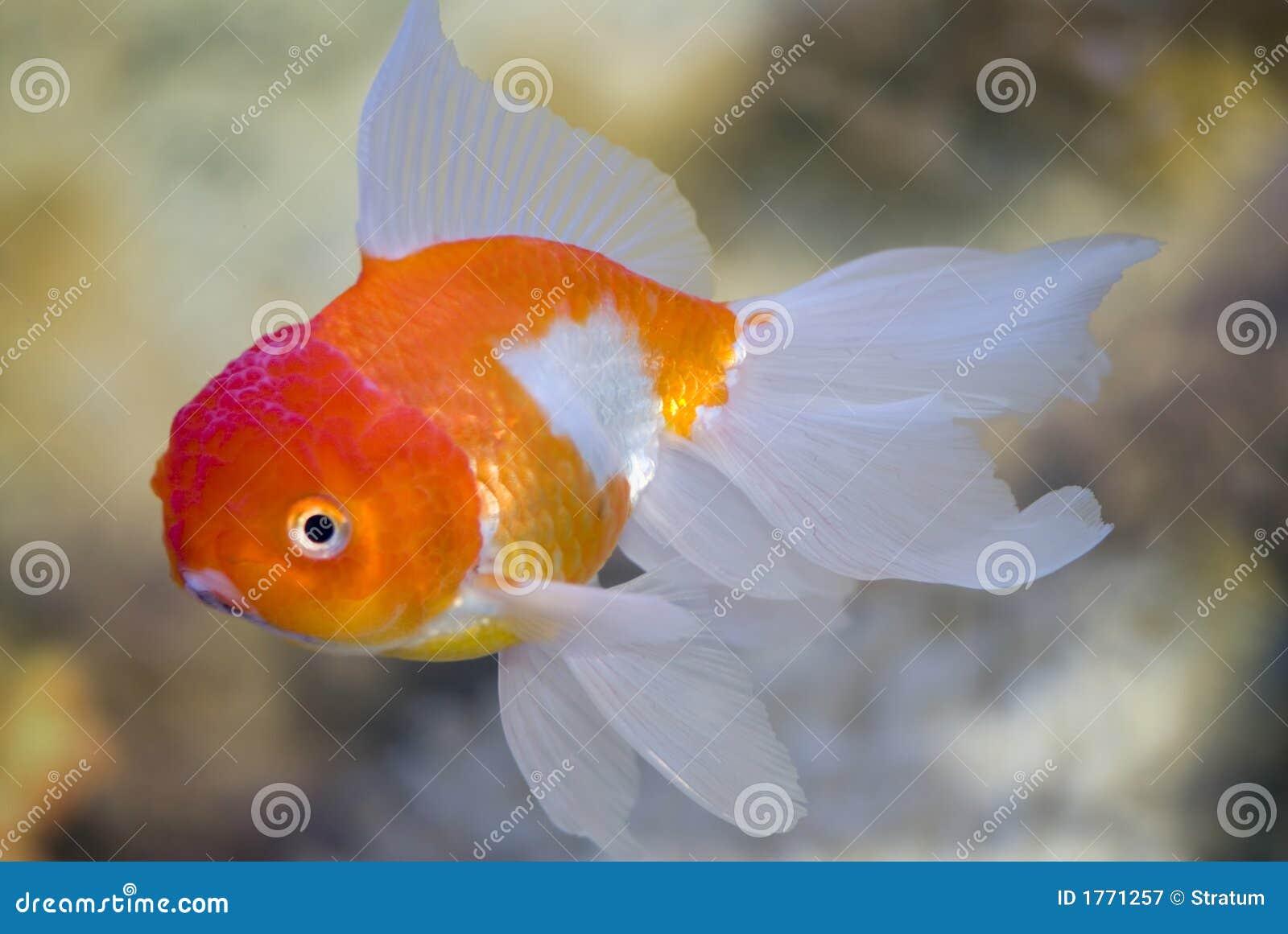 Pesci in un acquario d 39 acqua dolce immagine stock for Pesci per laghetto prezzi