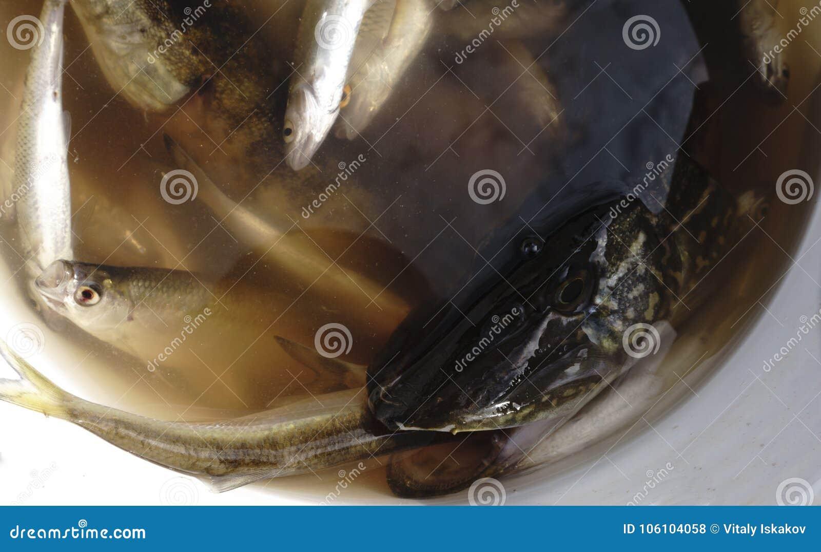 Pesque Rudd cogido en el cebo en un cubo plástico, brema, lucio,