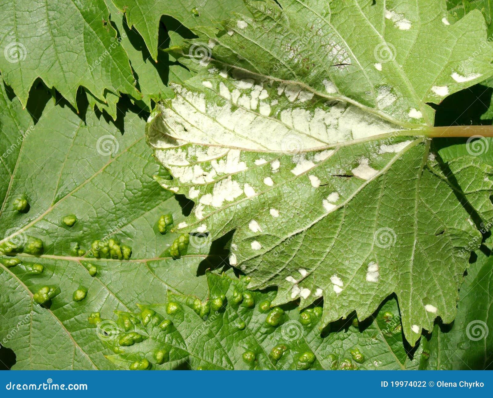 Pest of grape vine tick fitoptus stock photo image - Parasite de la vigne ...