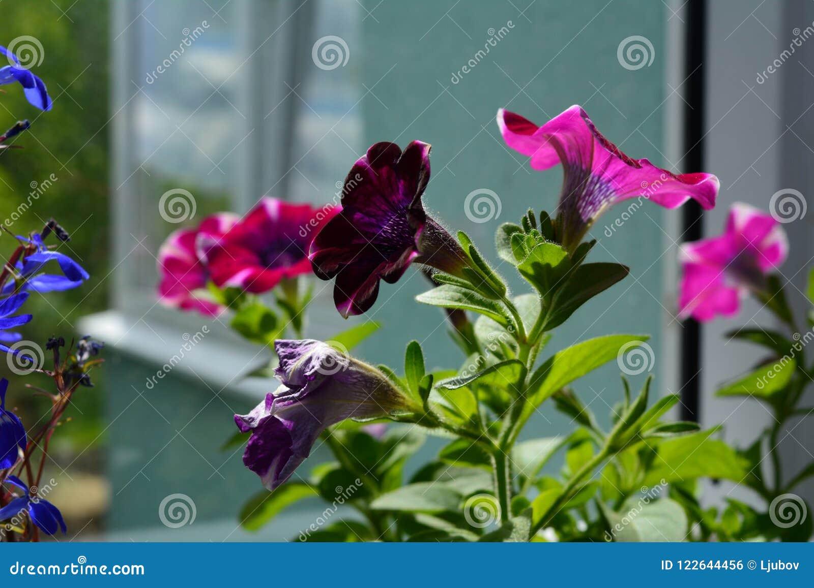 Petúnia de florescência com as flores roxas e cor-de-rosa bonitas Balcão