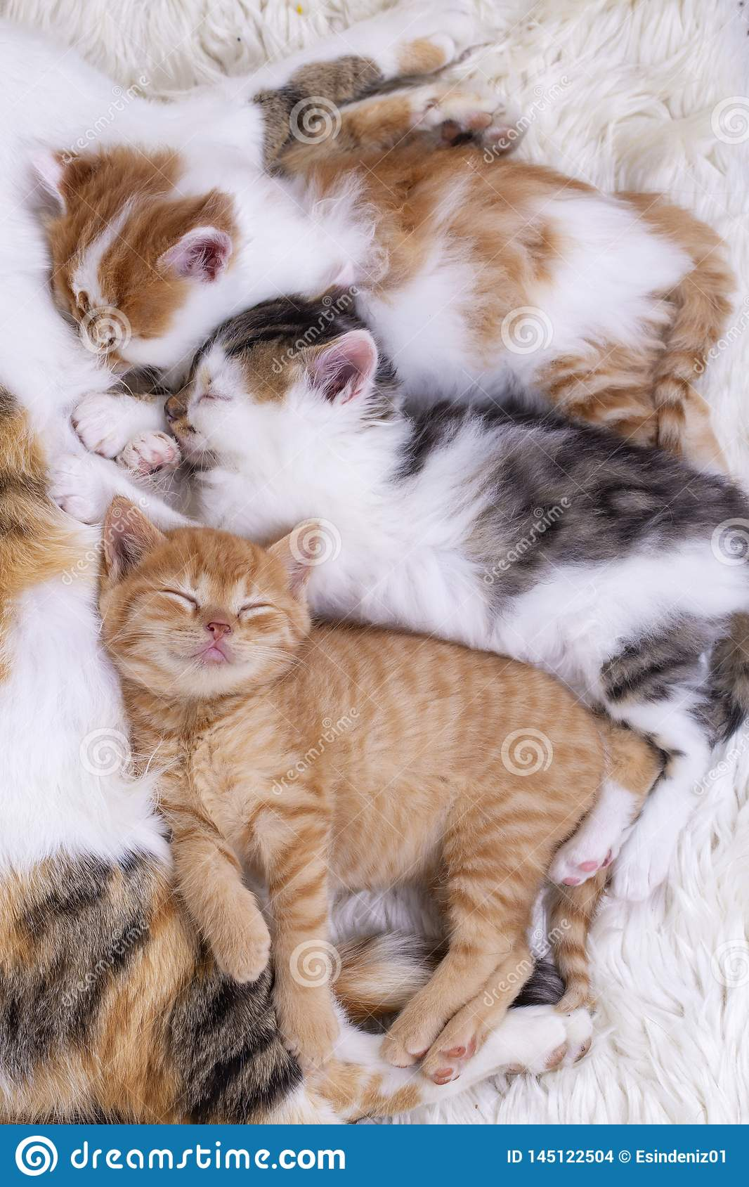 Pet Animal Cute Kitten Baby Cat And Mother Cat Stock Photo Image Of White Small 145122504