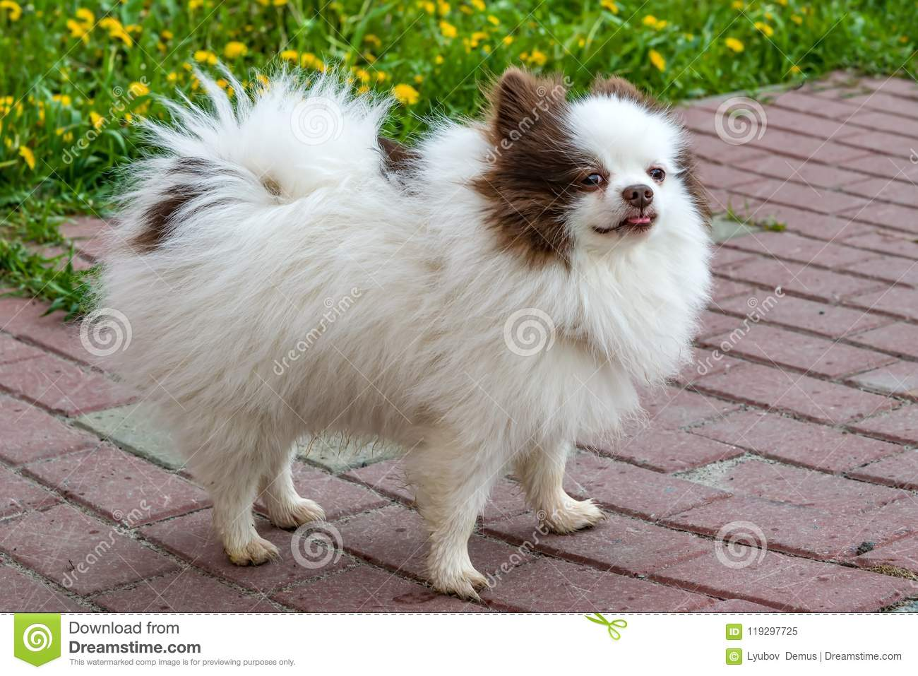 Pet Cute Fluffy Pomeranian Breed Dog White With Brown Spots Stock