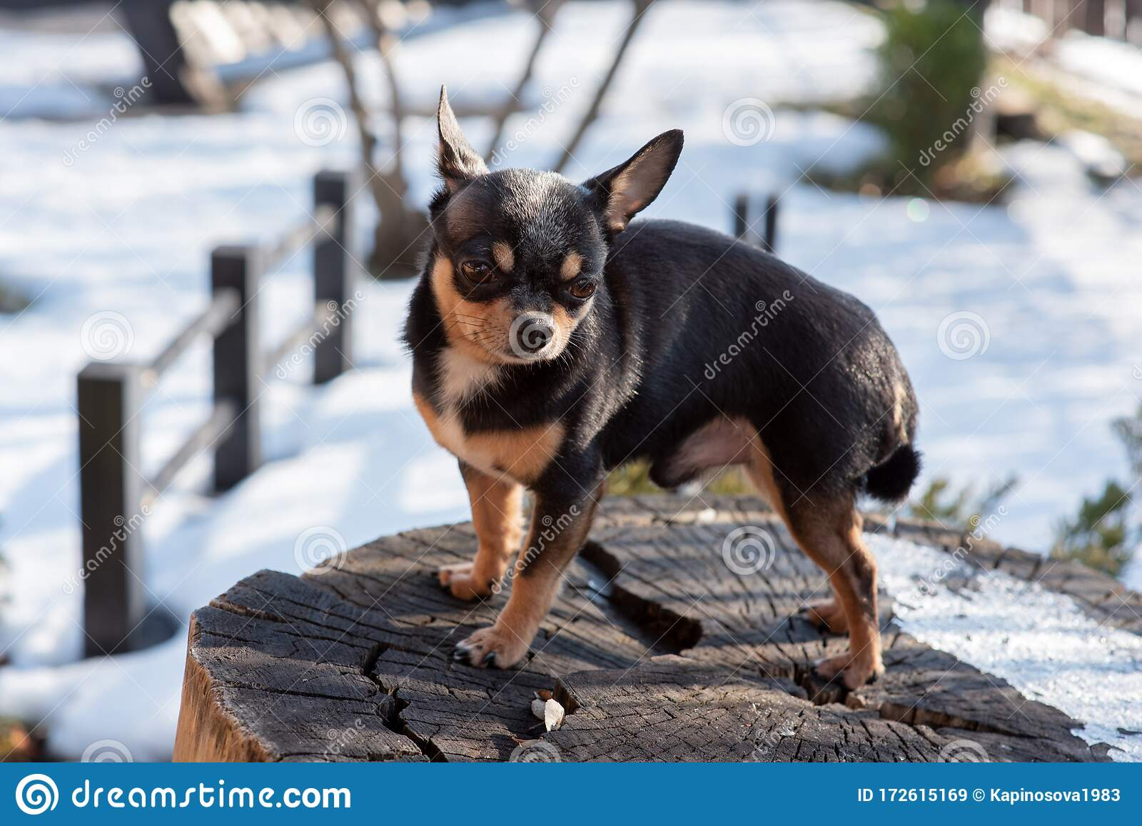 Pet Dog Chihuahua Walks On The Street Chihuahua Dog For A Walk Chihuahua Black Brown And White Stock Image Image Of Outside Chihuahua 172615169