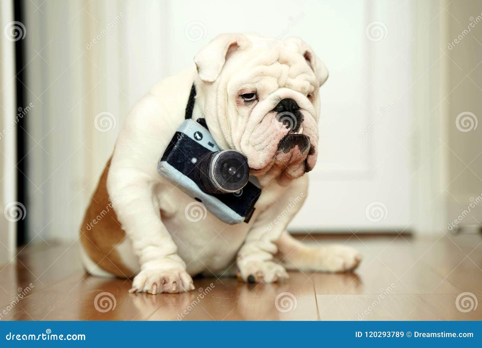 Pet English Bulldog Posing As A Photographer With A Stuffed Camera