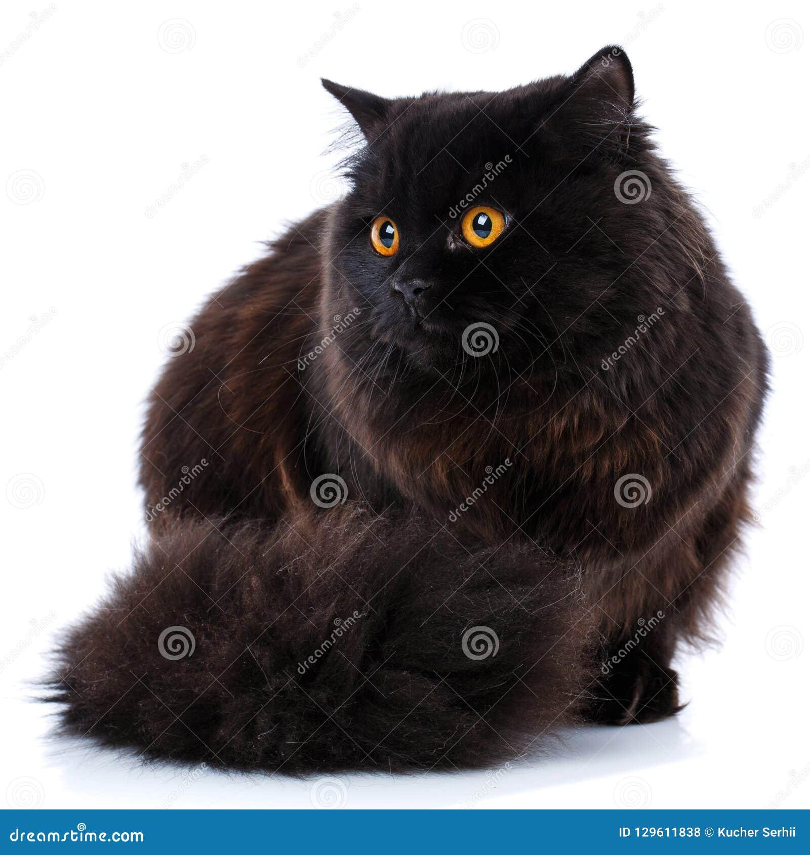 Pet Gato británico criado en línea pura en un fondo blanco