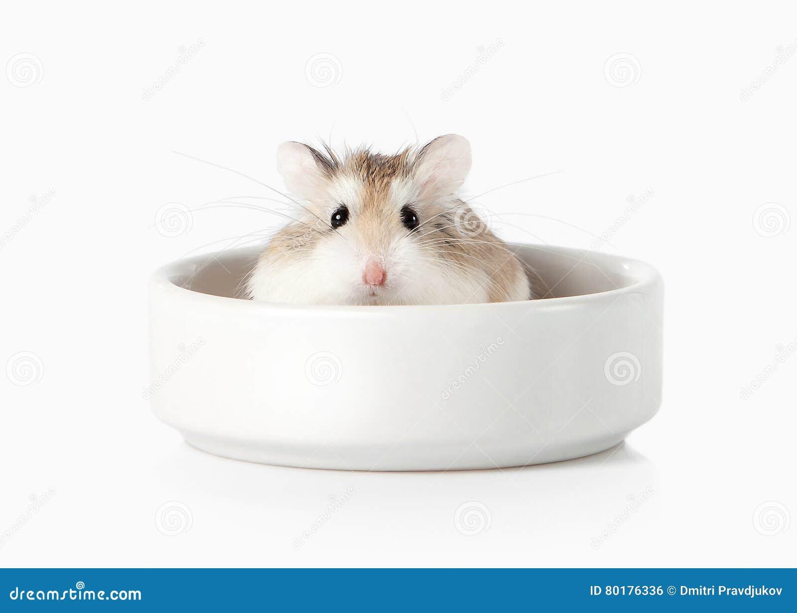 Pet Hamster de Roborovski d isolement sur le fond blanc