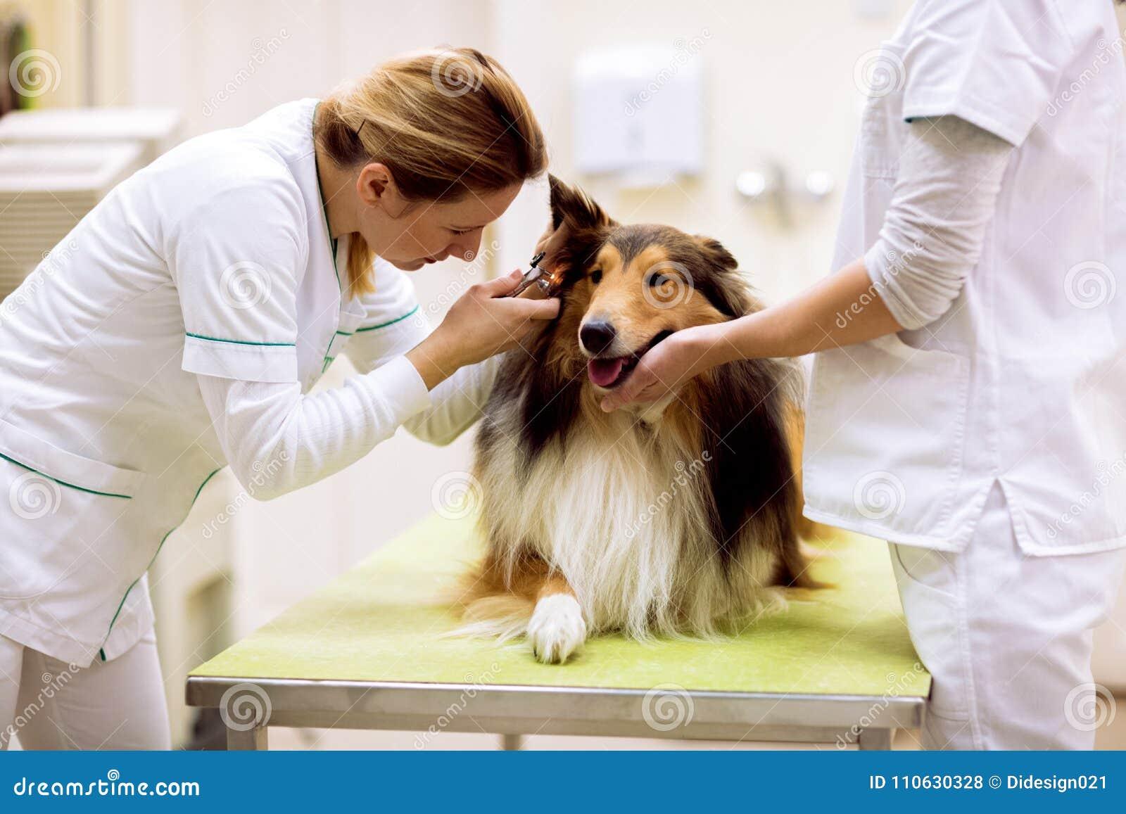 Pet l ambulanza, orecchio d esame veterinario con l otoscopio