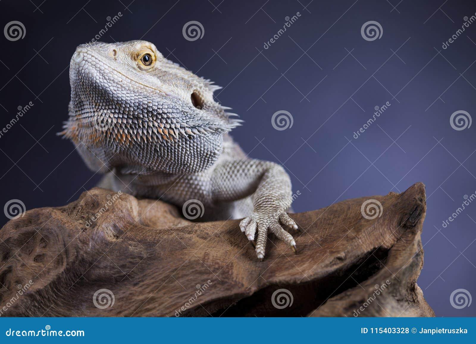 Agama Bearded, Pet On Black Background, Reptile Stock Photo - Image