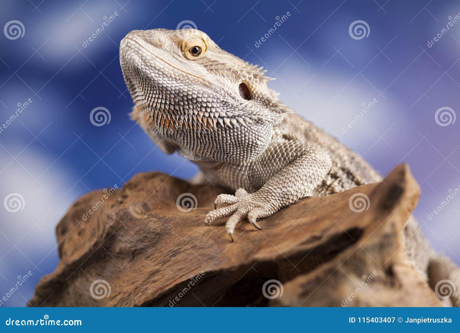 Agama Bearded, Pet On Black Background, Reptile Stock Image - Image
