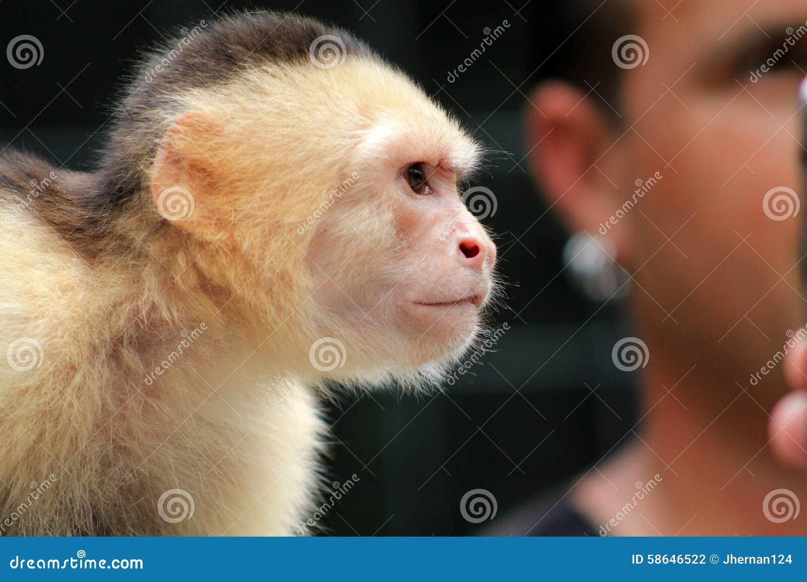 Pet Monkey Face Stock Photo - Image: 58646522