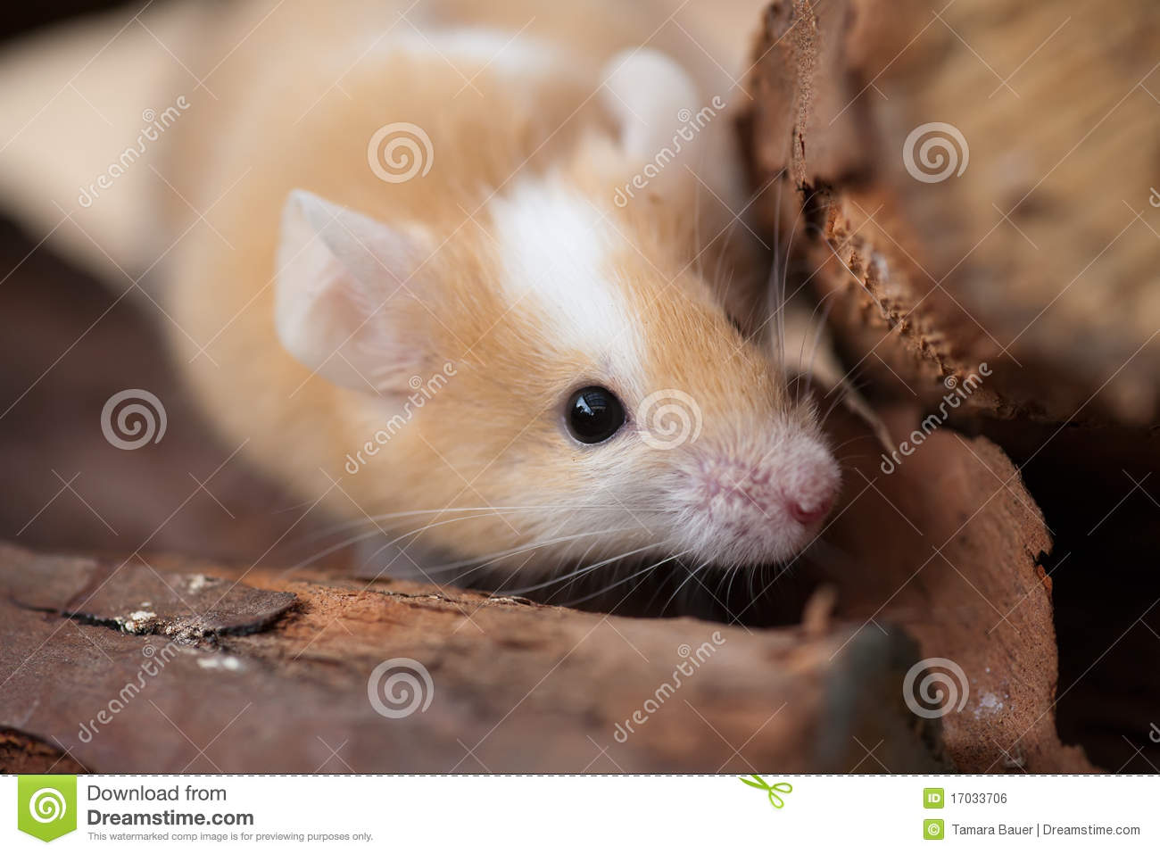 Pet Mouse Royalty Free...