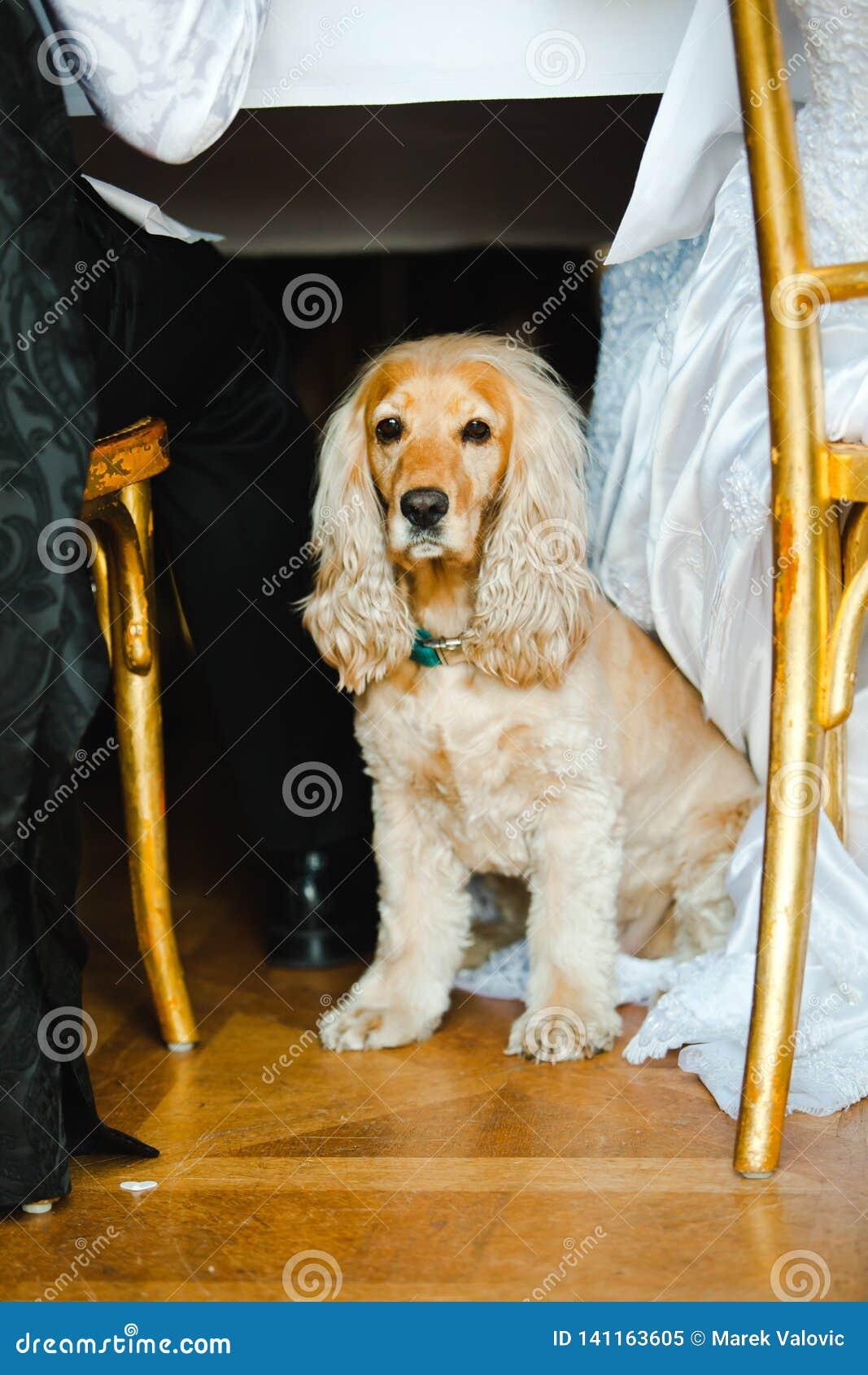 Pet om the wedding - English Cocker Spaniel